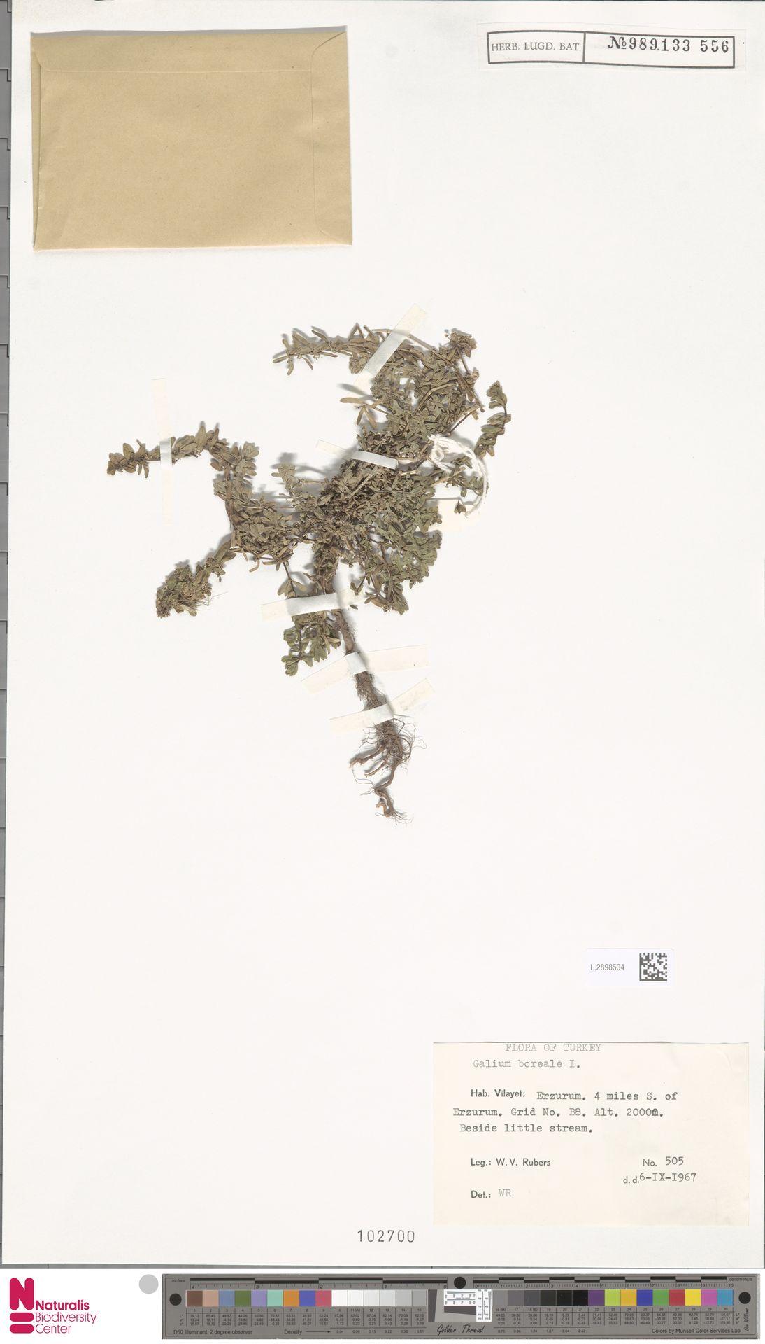 L.2898504   Galium boreale L.