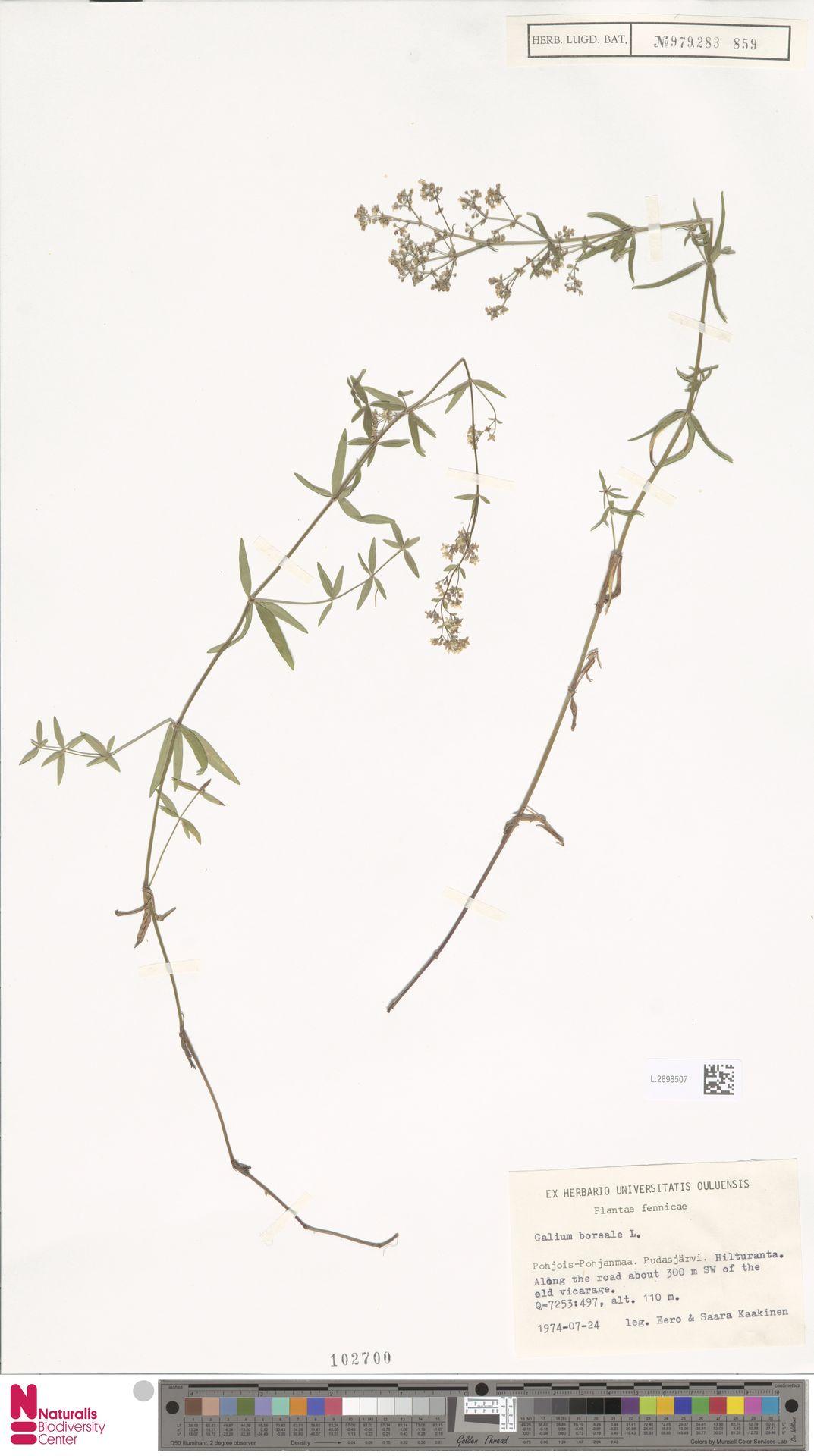 L.2898507 | Galium boreale L.