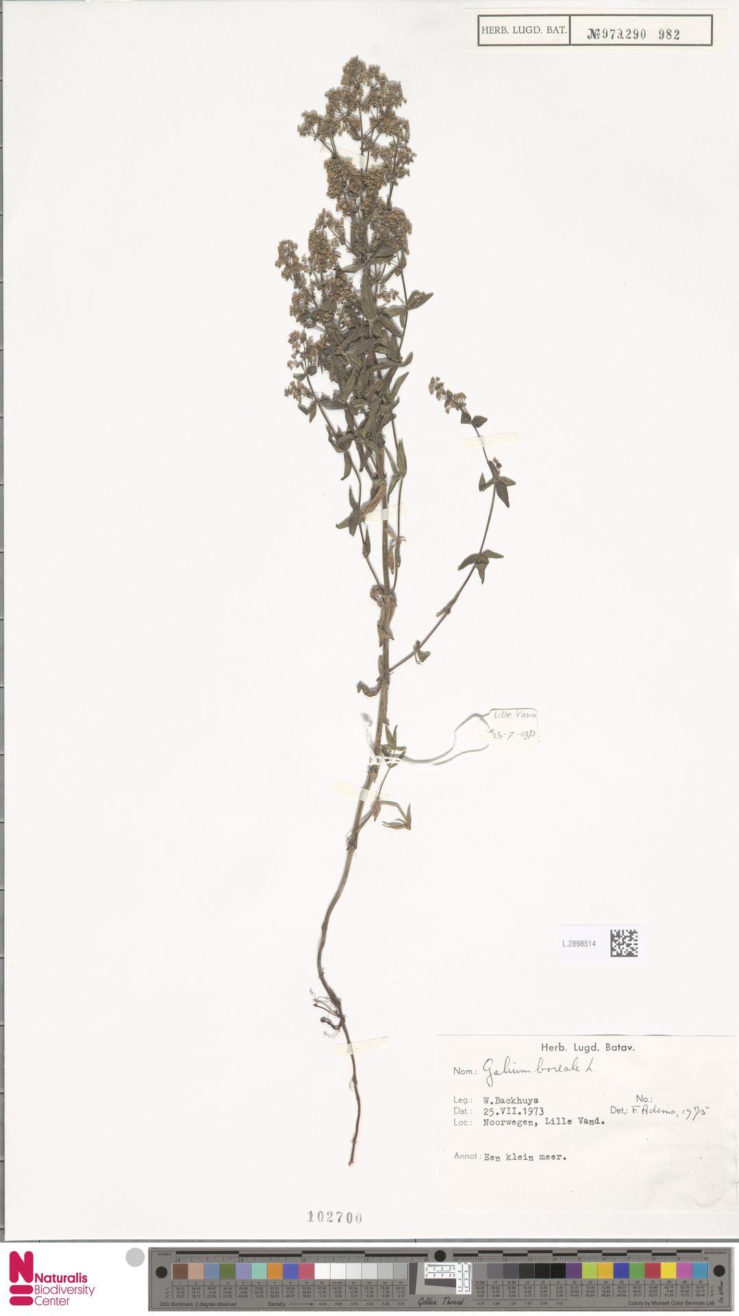 L.2898514 | Galium boreale L.