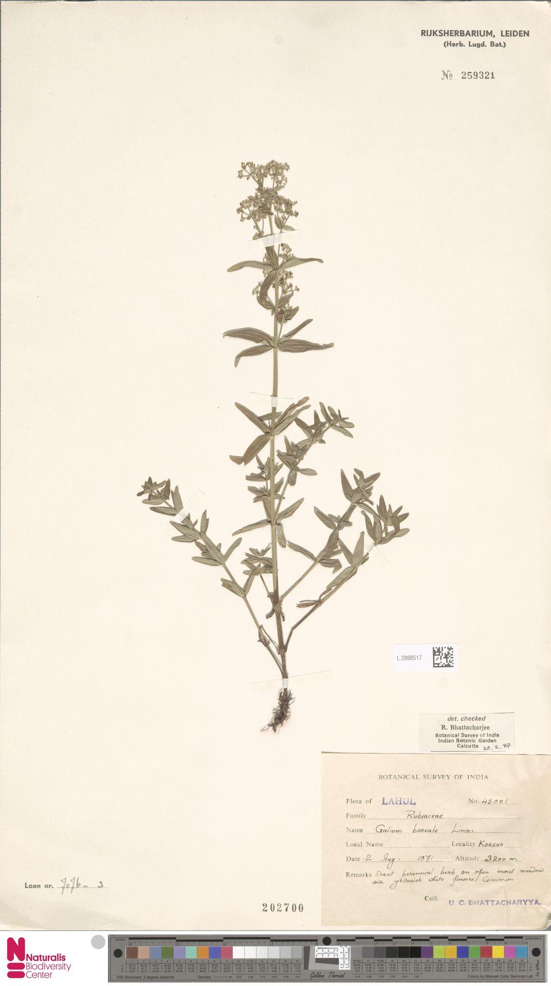 L.2898517   Galium boreale L.