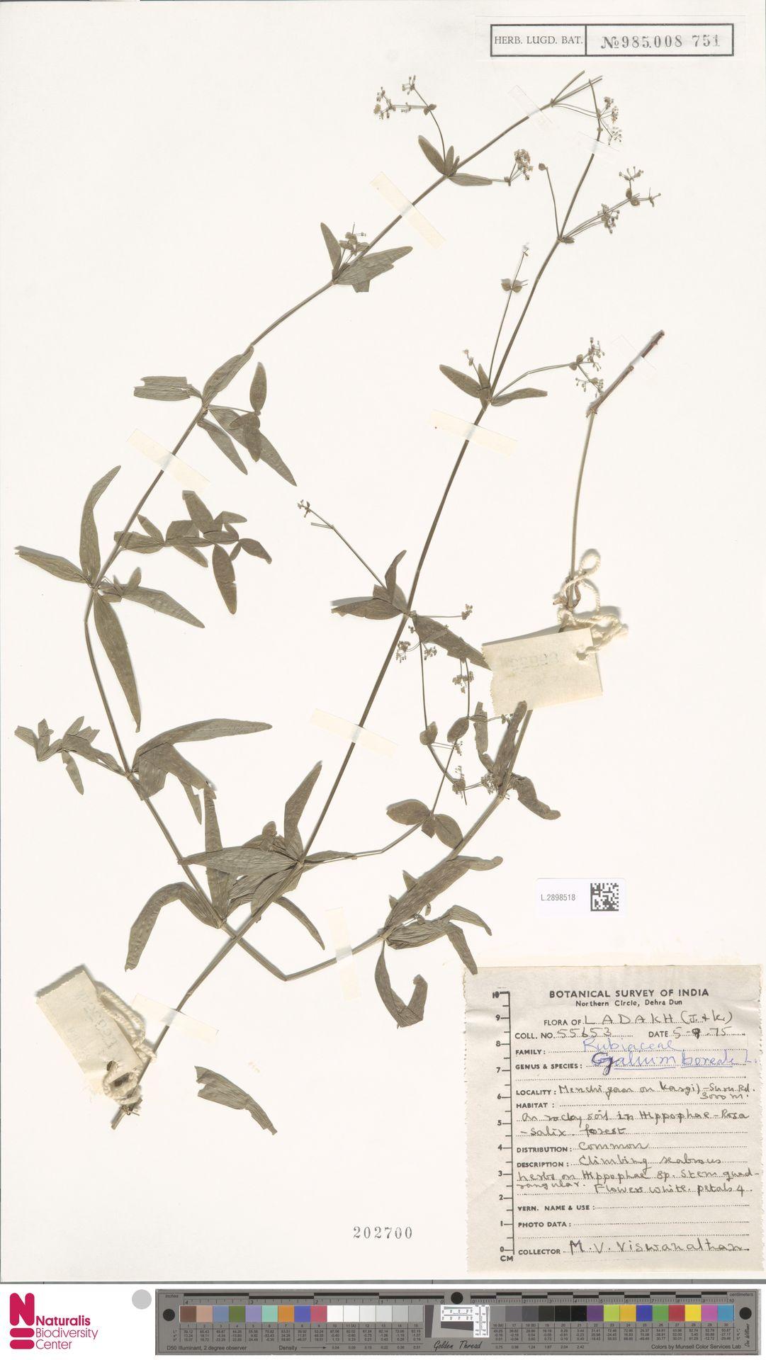 L.2898518 | Galium boreale L.