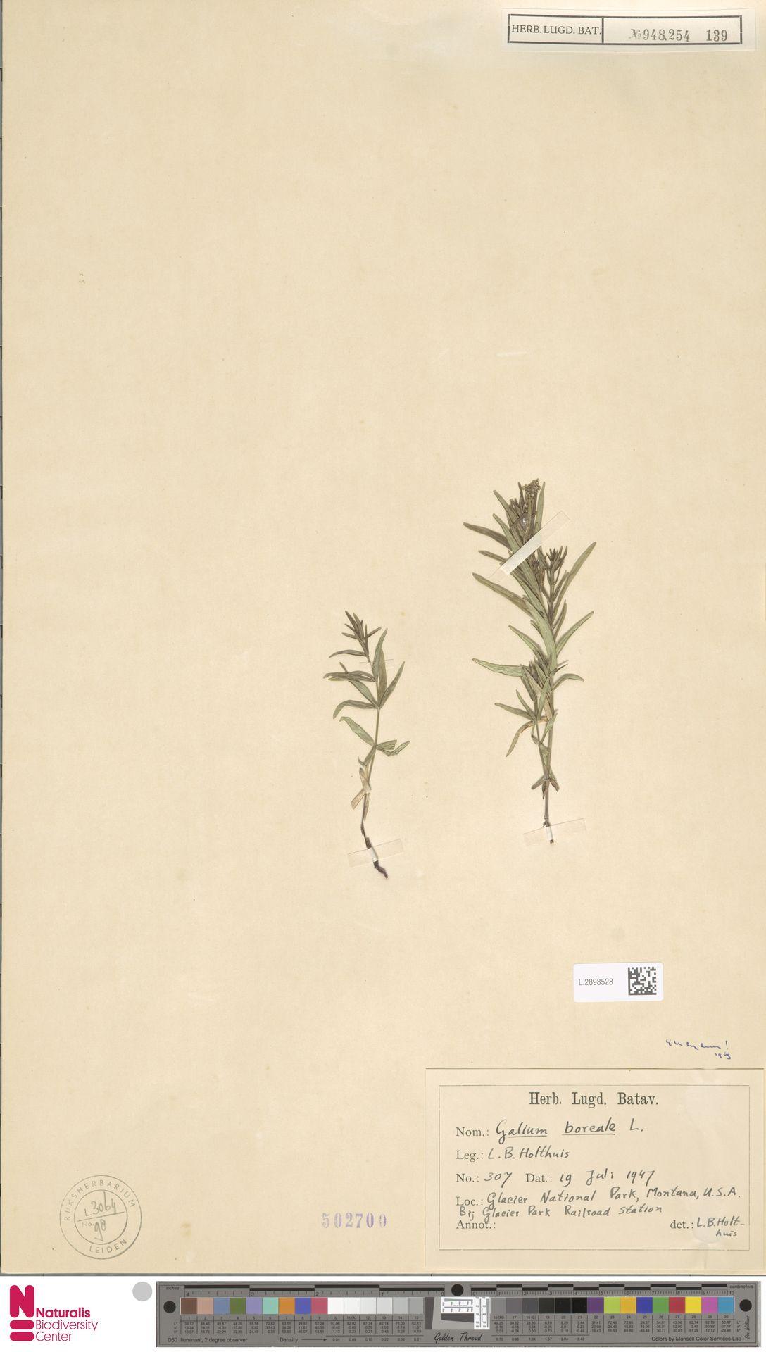 L.2898528   Galium boreale L.