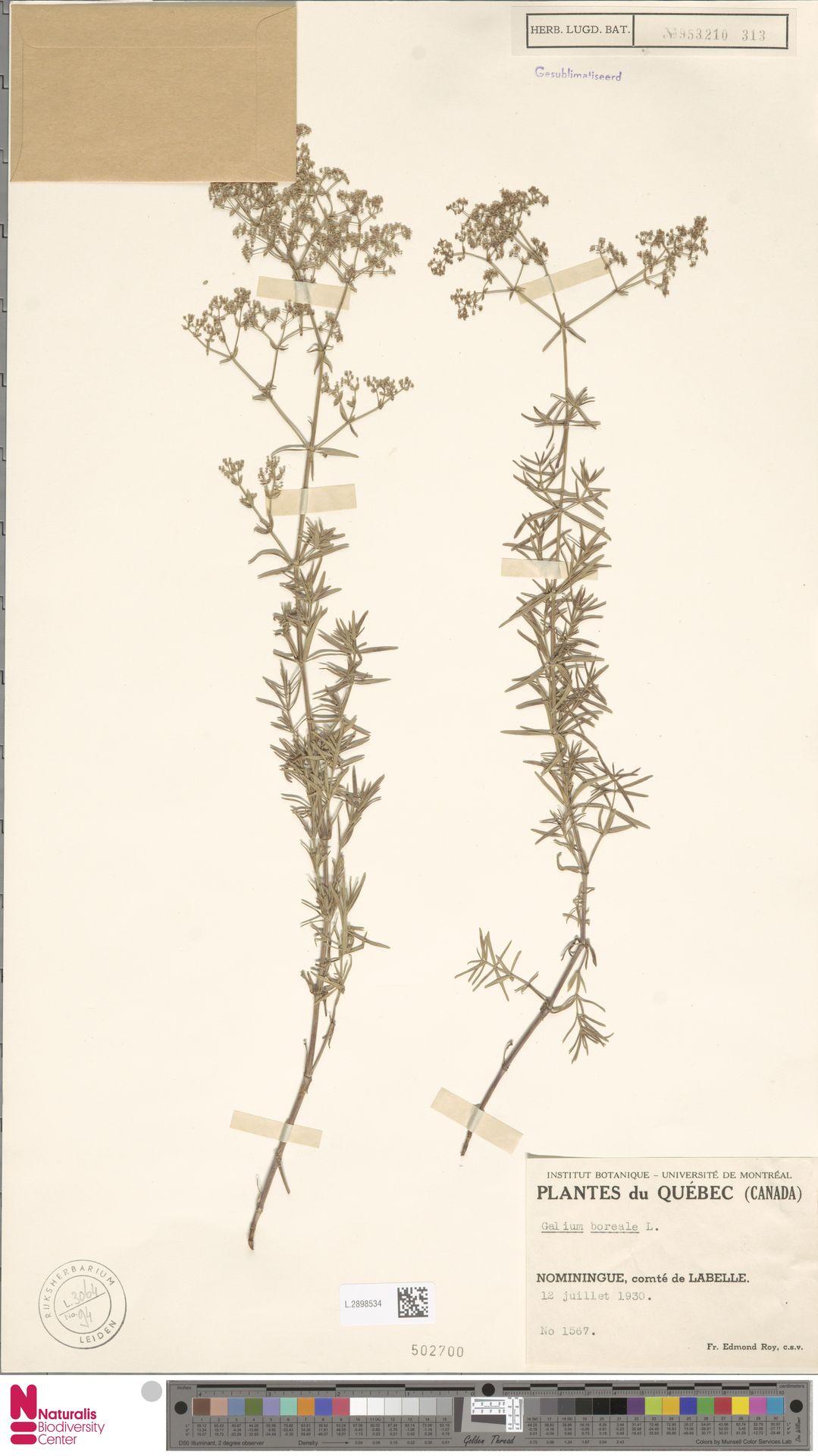 L.2898534 | Galium boreale L.