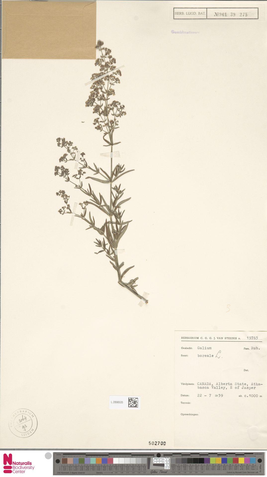 L.2898535 | Galium boreale L.