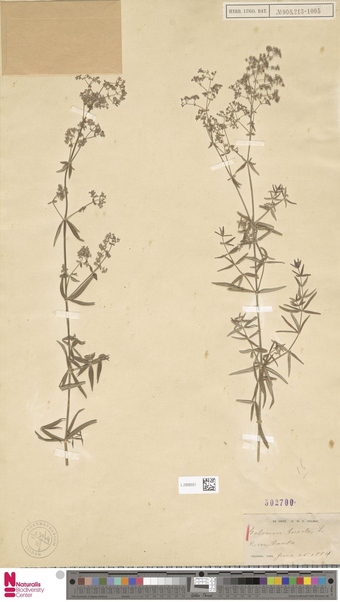 L.2898551 | Galium boreale L.