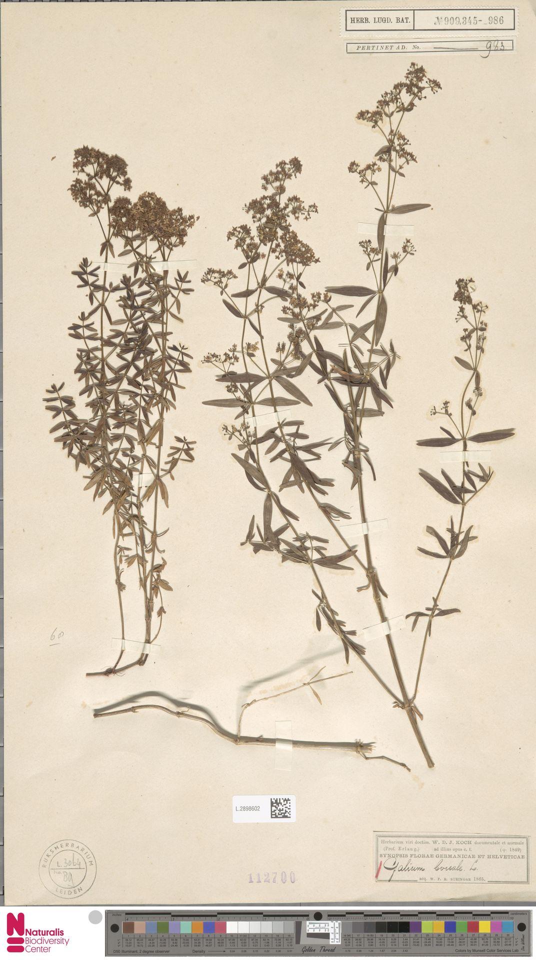 L.2898602   Galium boreale L.
