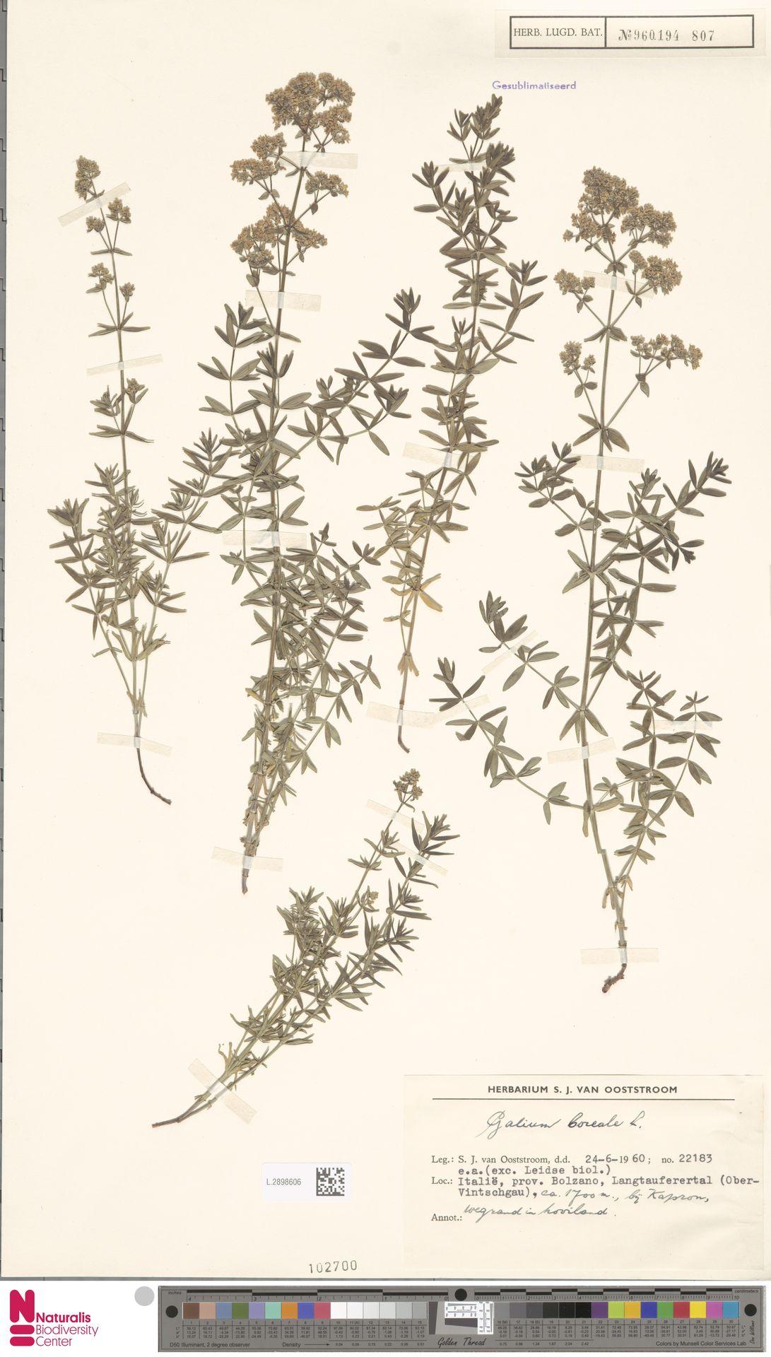 L.2898606 | Galium boreale L.