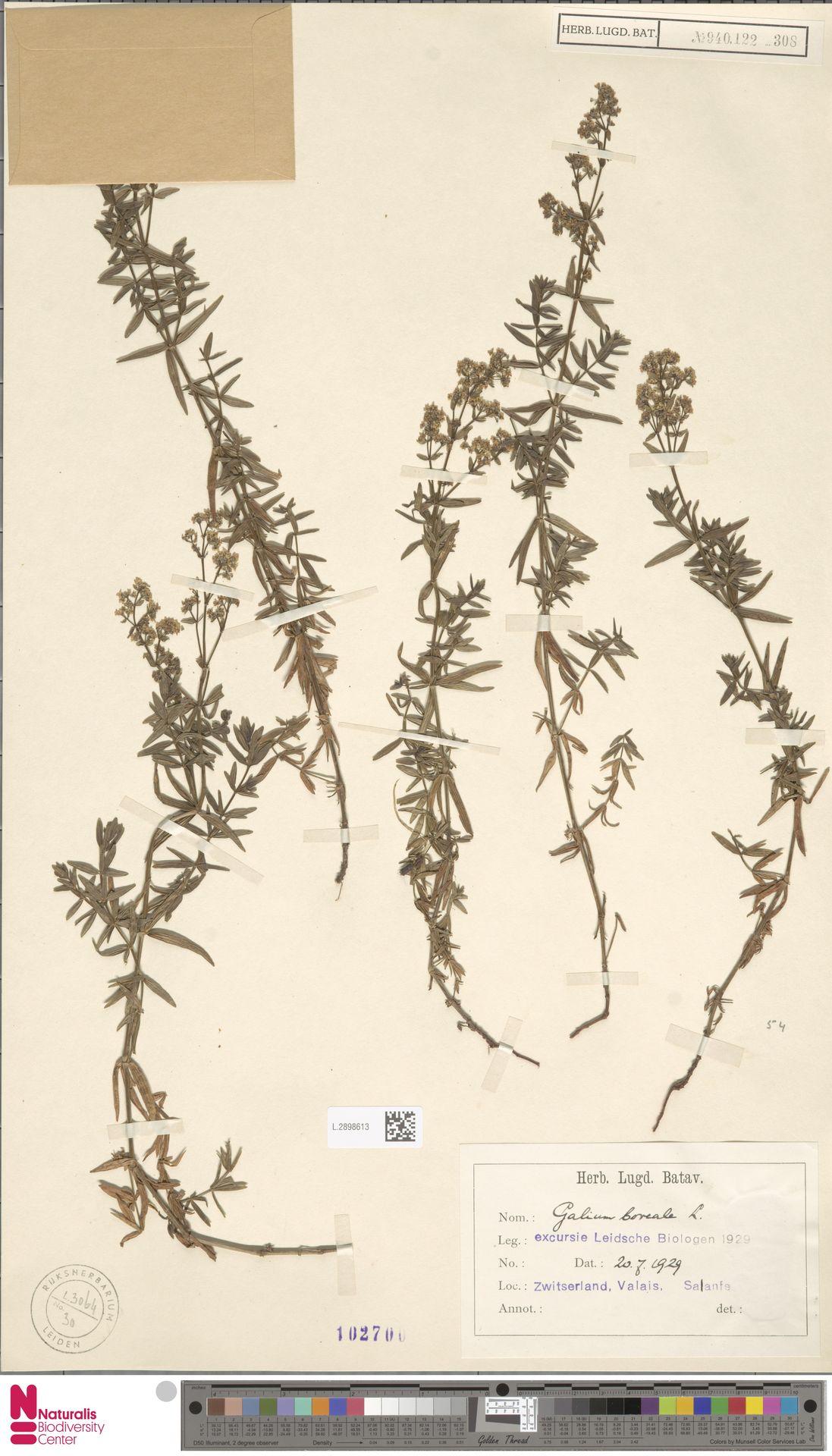 L.2898613 | Galium boreale L.