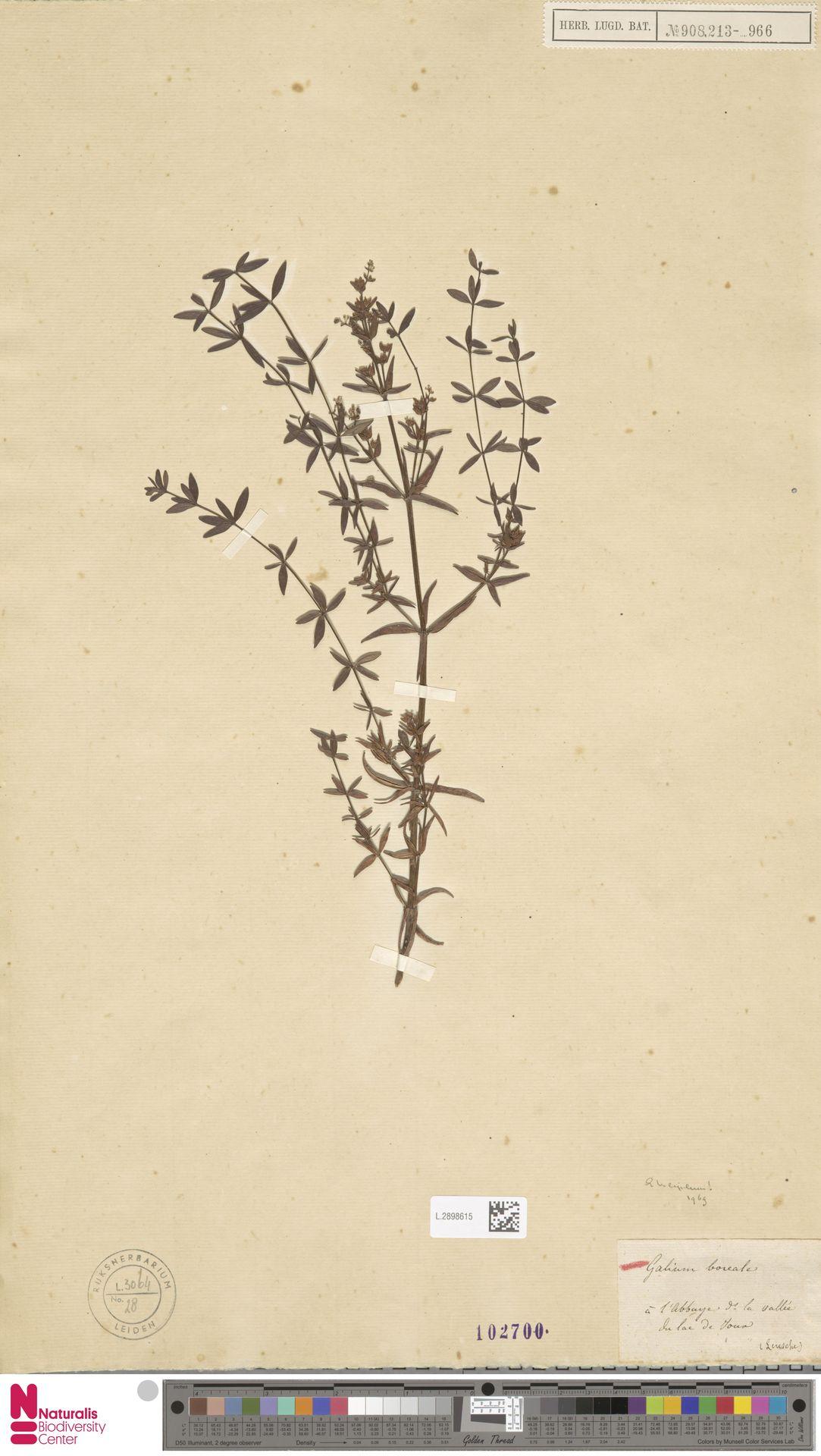 L.2898615 | Galium boreale L.