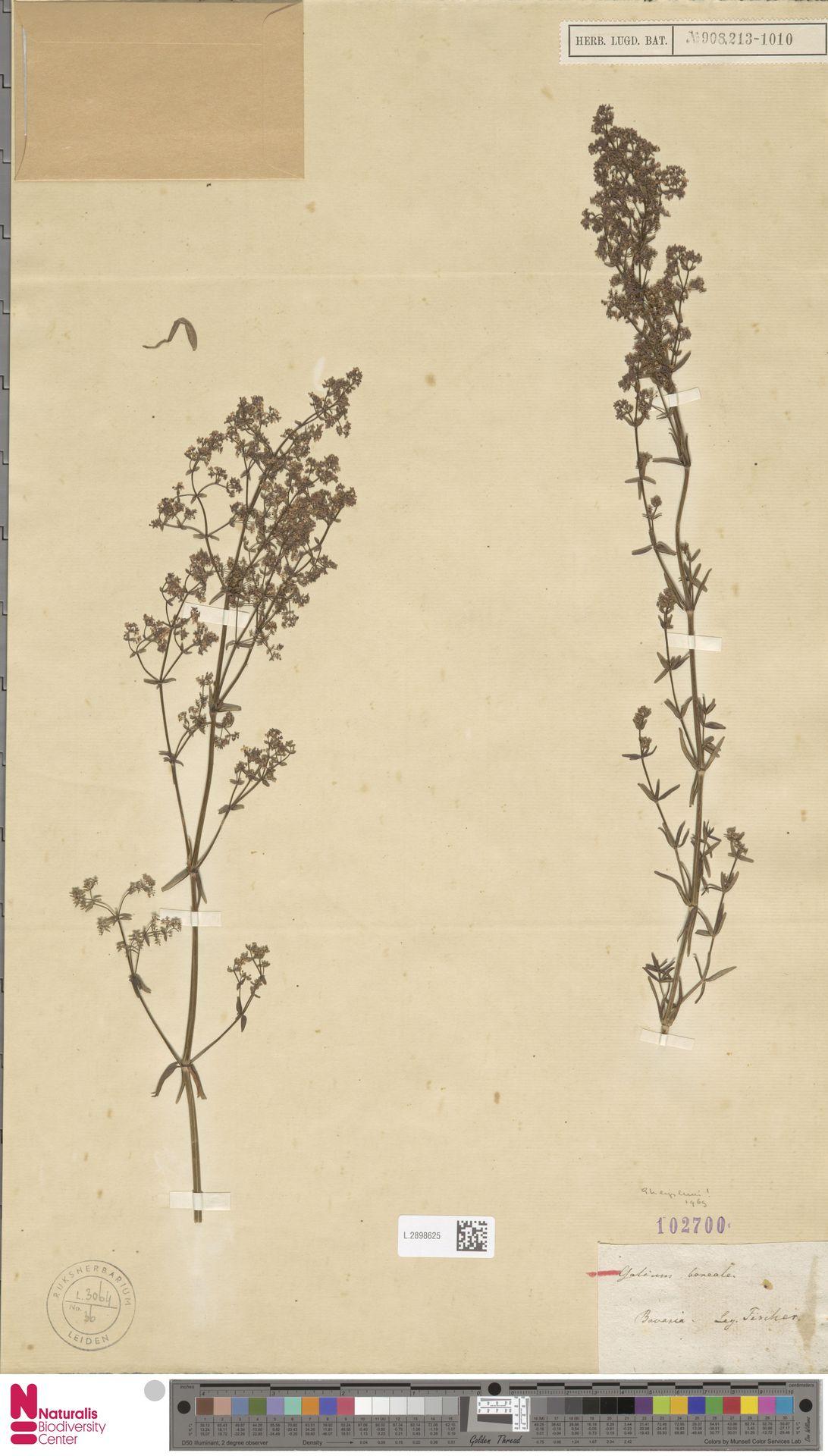 L.2898625 | Galium boreale L.