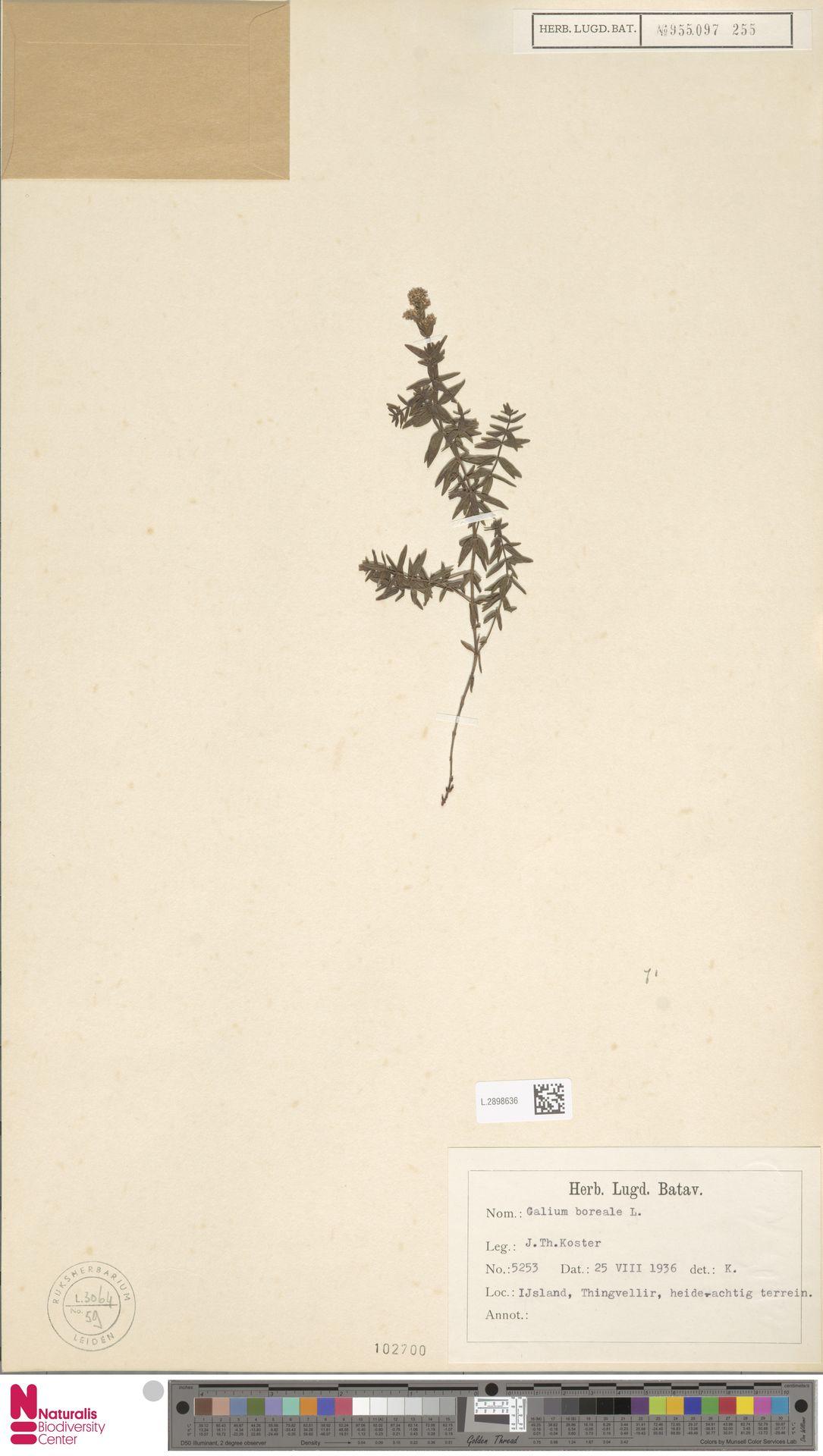 L.2898636 | Galium boreale L.