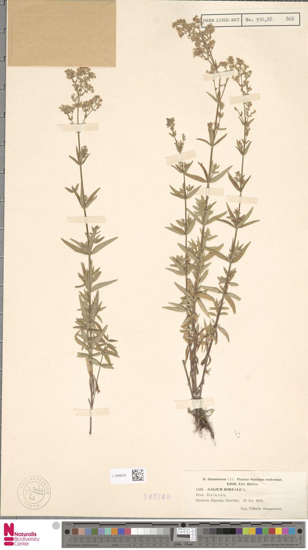 L.2898648 | Galium boreale L.