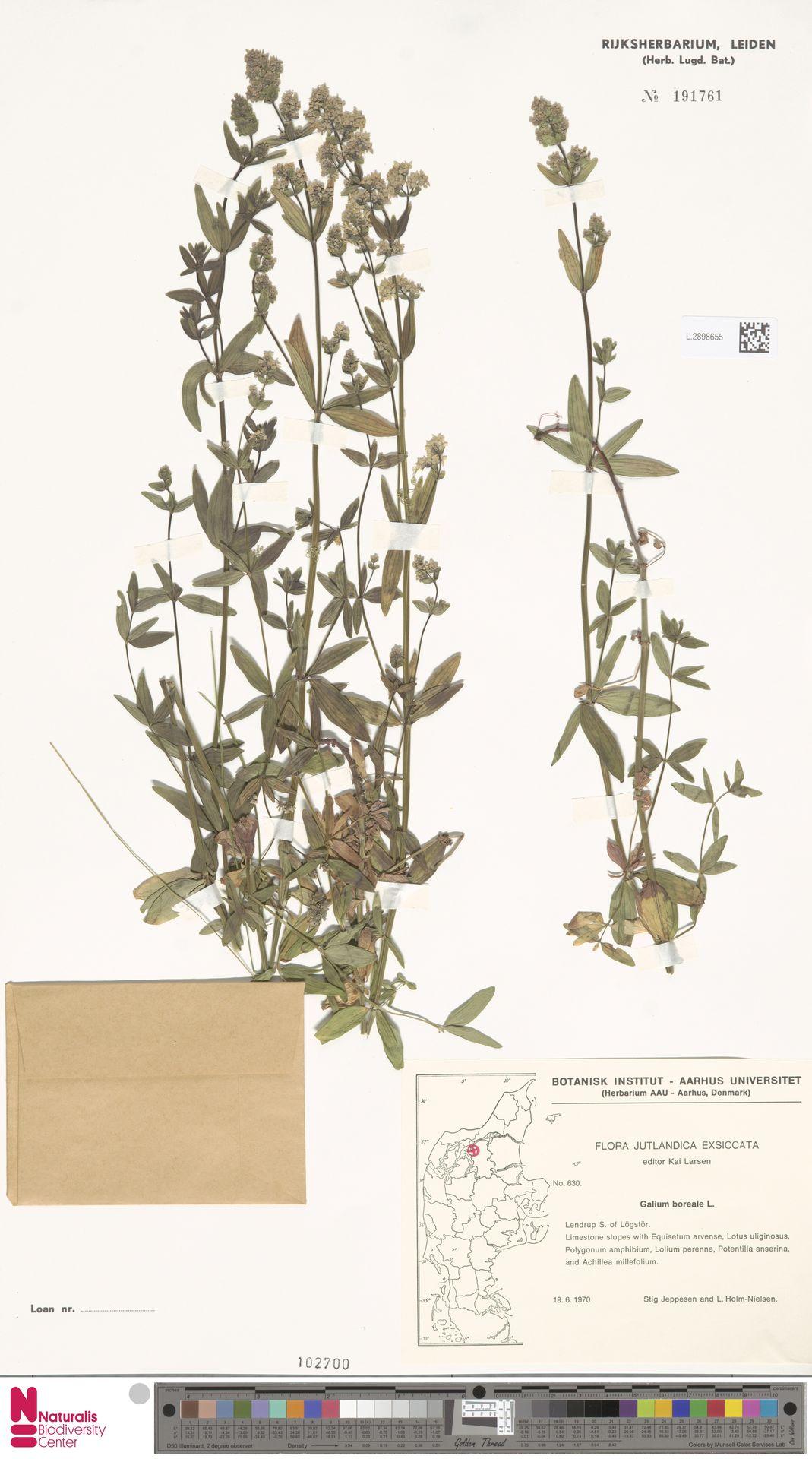 L.2898655 | Galium boreale L.