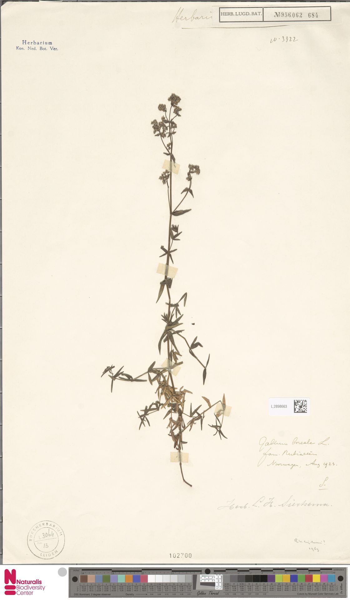 L.2898663 | Galium boreale L.