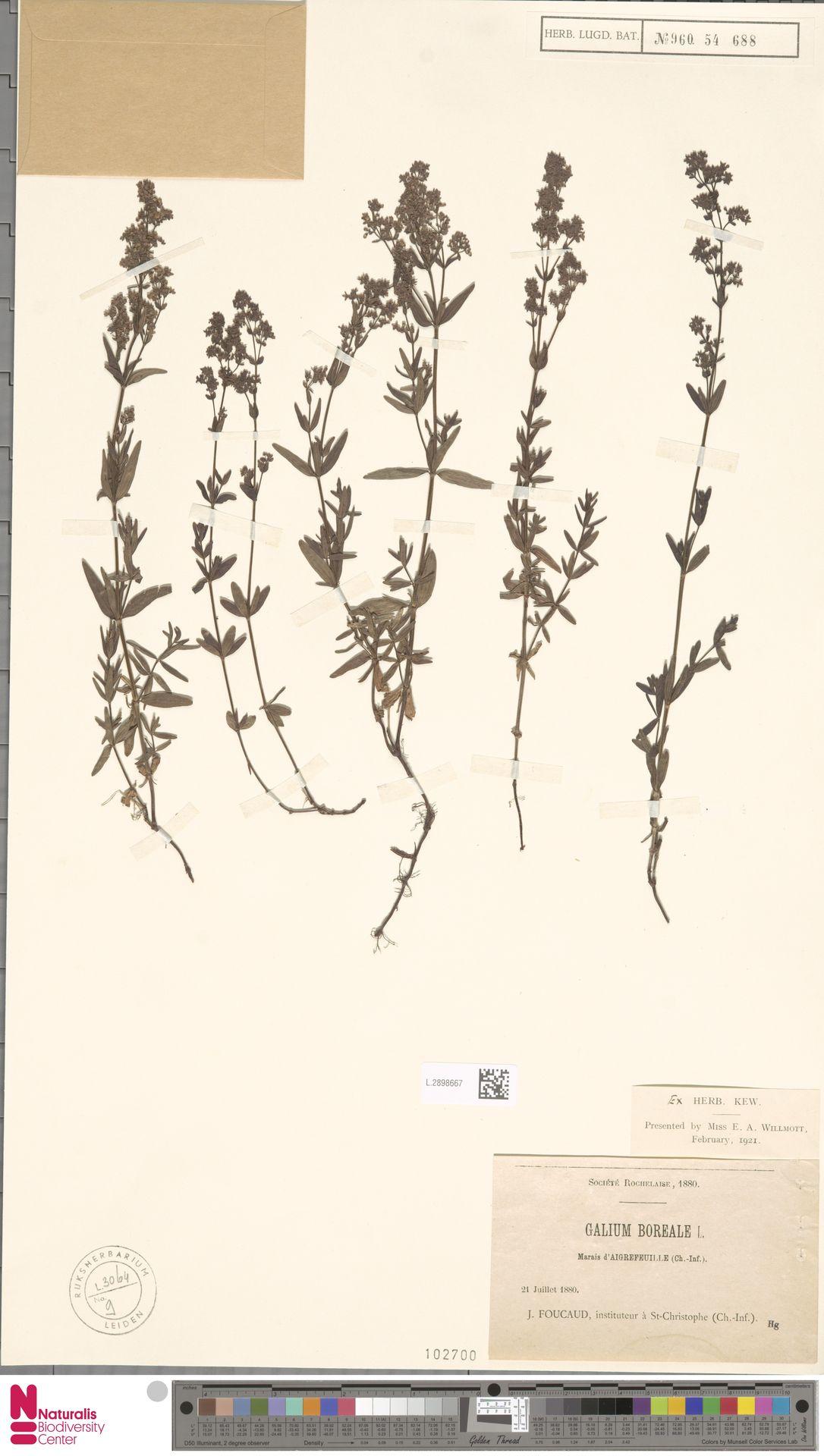 L.2898667 | Galium boreale L.
