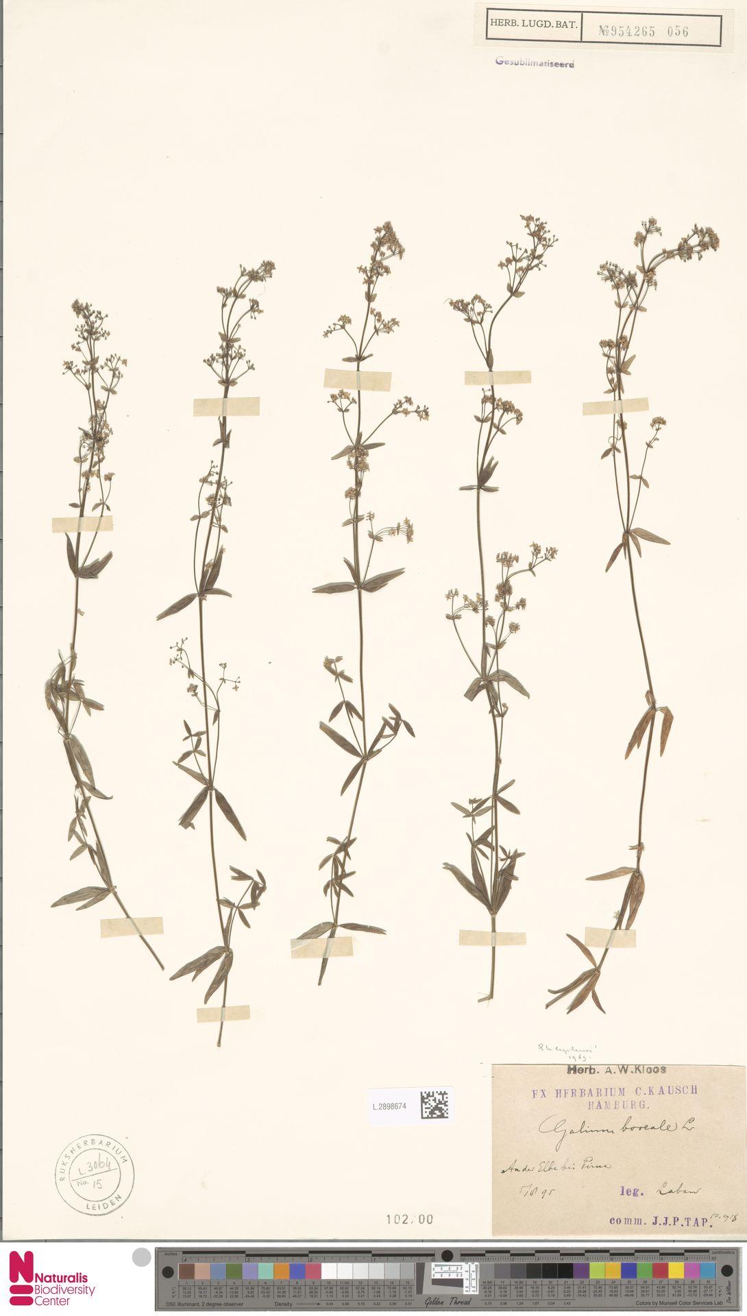 L.2898674   Galium boreale L.