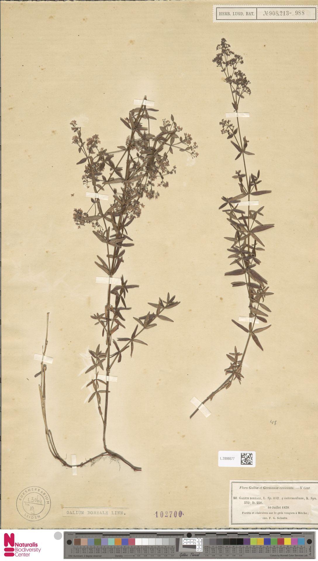 L.2898677   Galium boreale L.