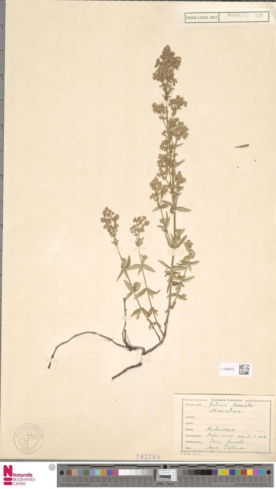 L.2898679   Galium boreale L.