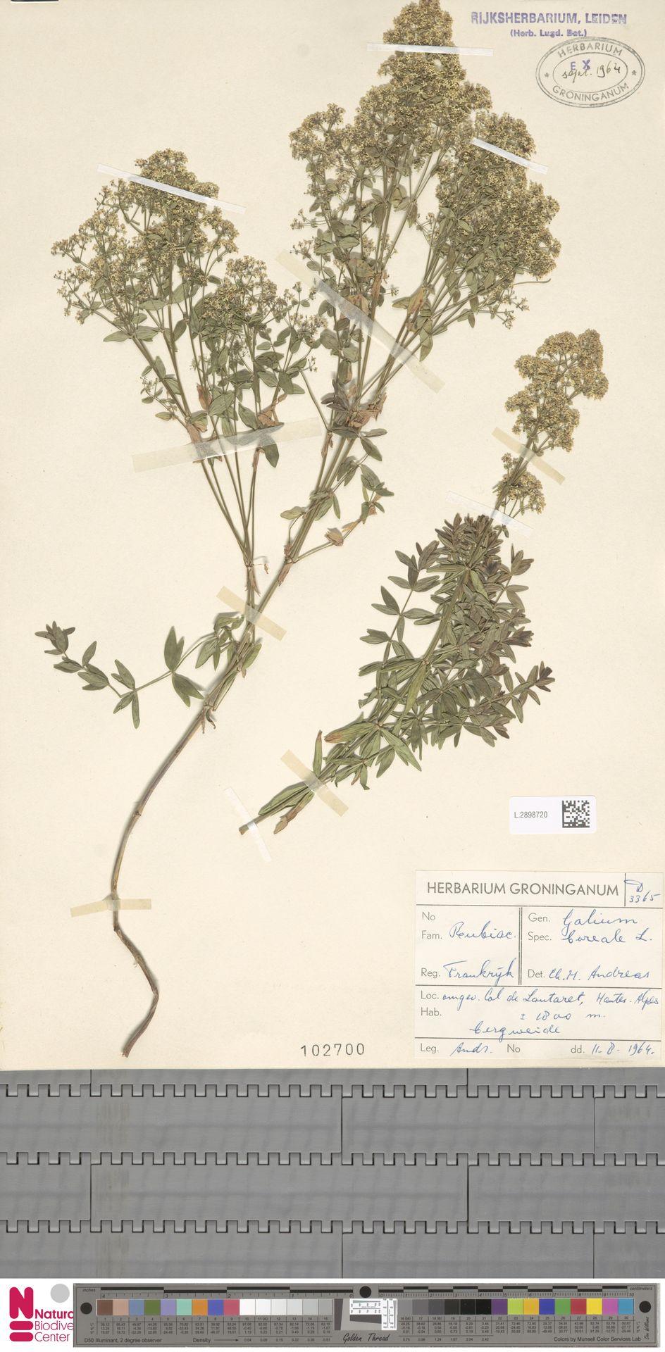 L.2898720 | Galium boreale L.