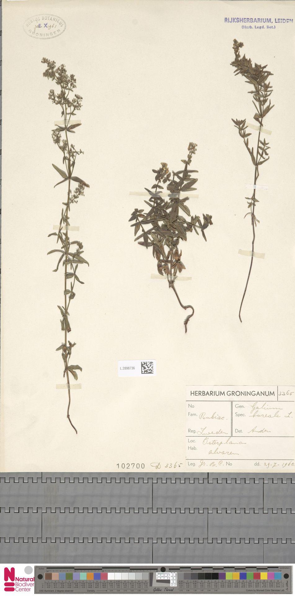 L.2898736 | Galium boreale L.