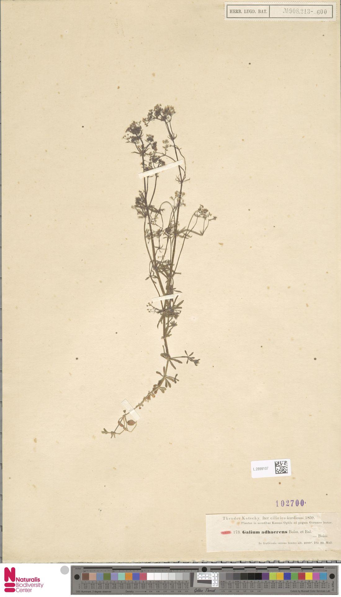 L.2899107 | Galium adhaerens Boiss. & Balansa