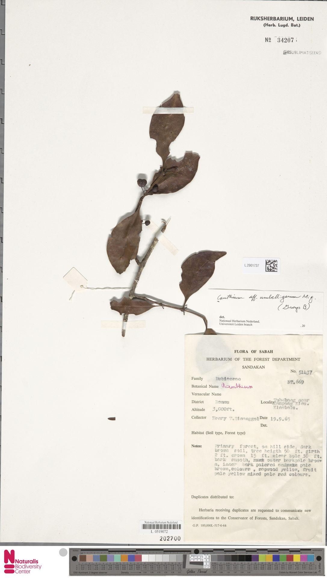L.2901737 | Canthium umbelligerum Miq.