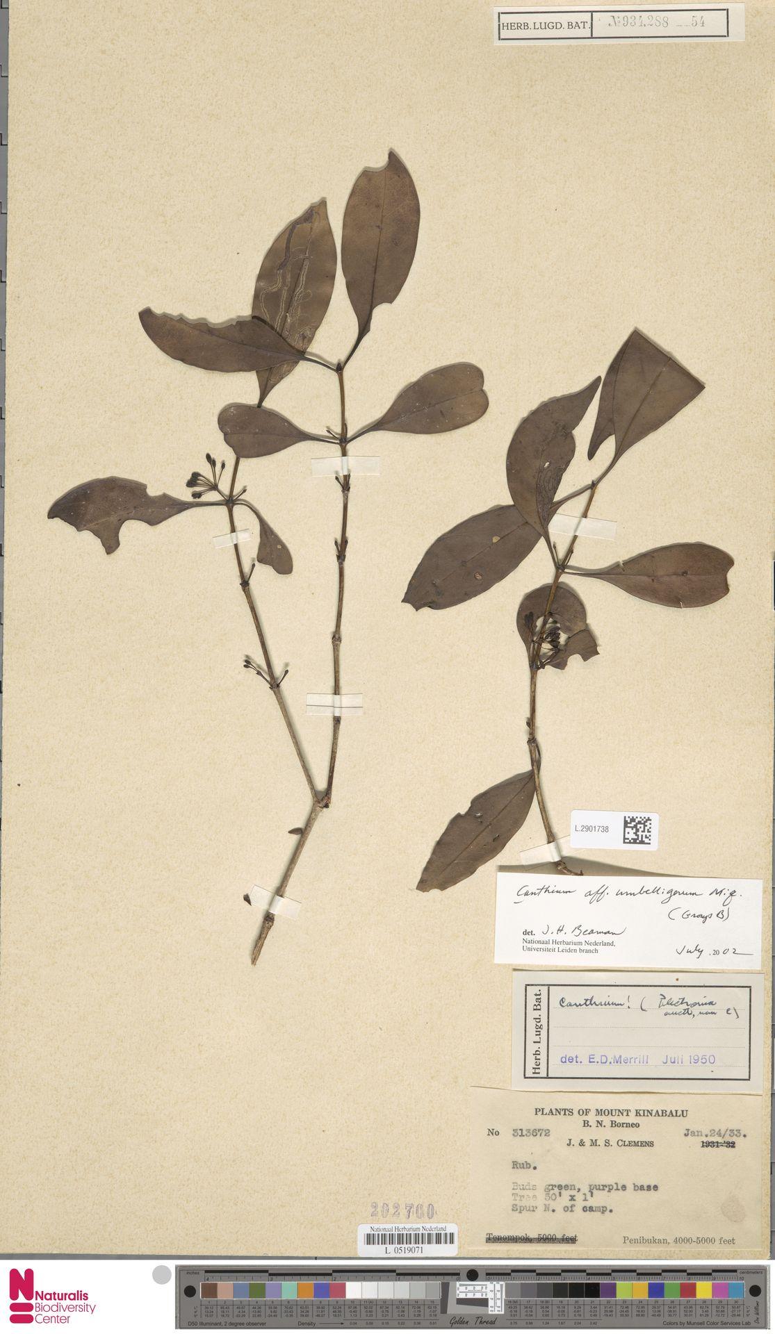 L.2901738 | Canthium umbelligerum Miq.