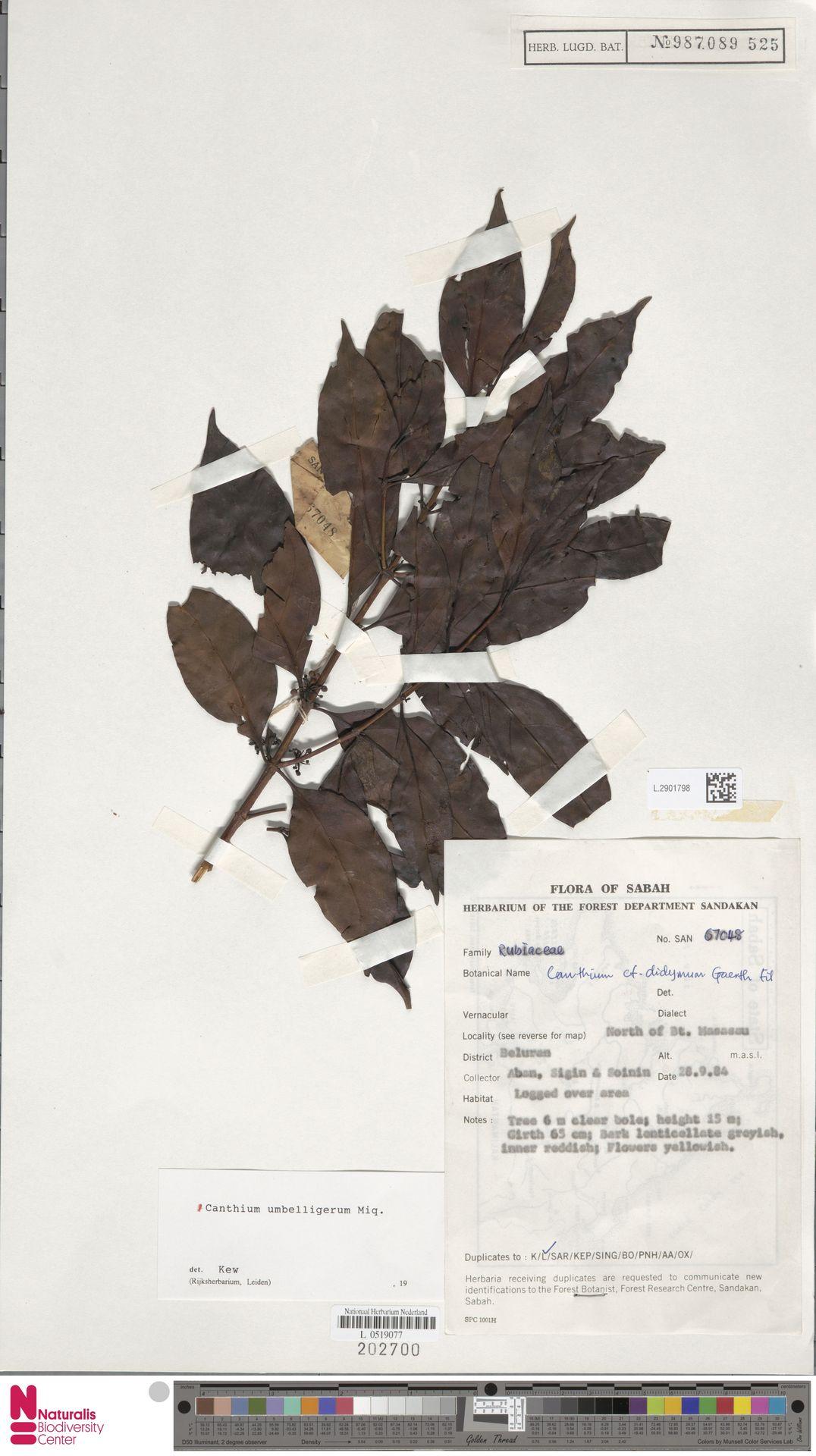 L.2901798 | Canthium umbelligerum Miq.