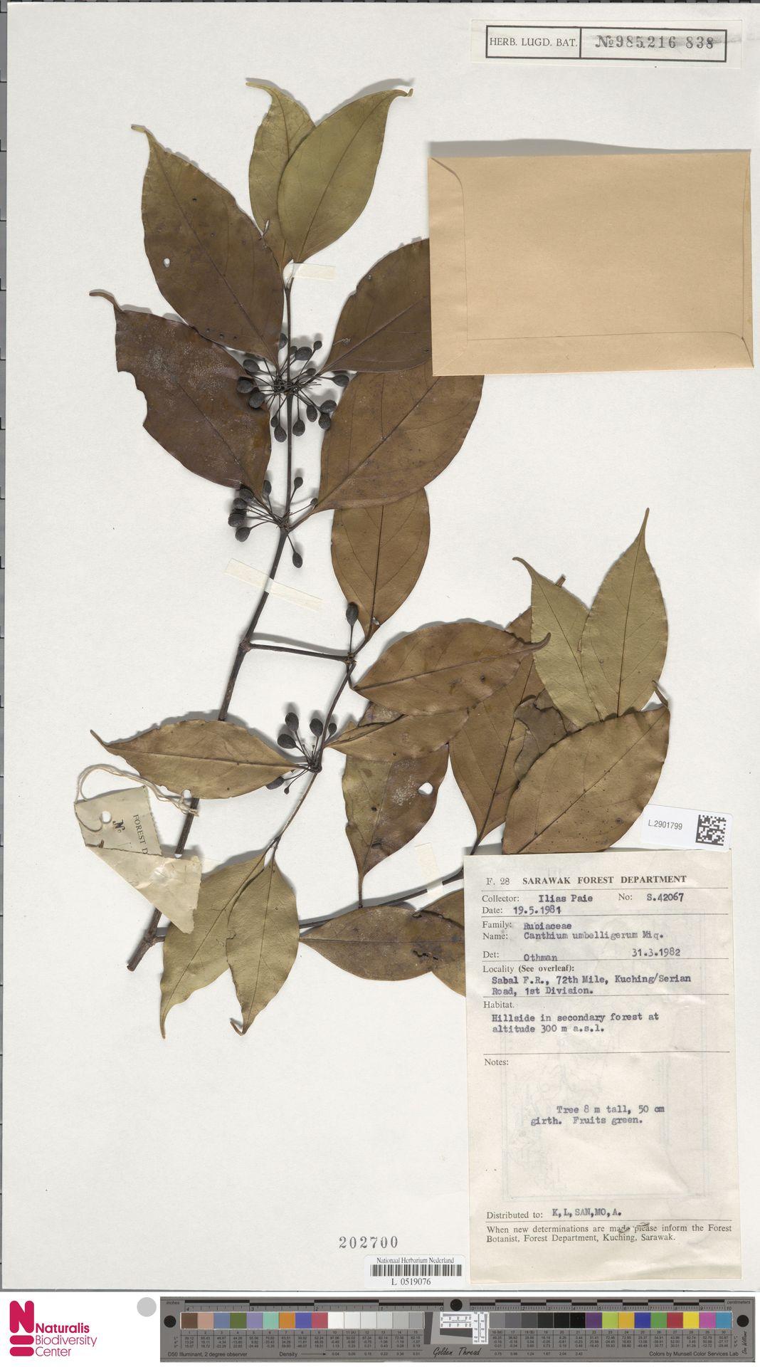 L.2901799 | Canthium umbelligerum Miq.
