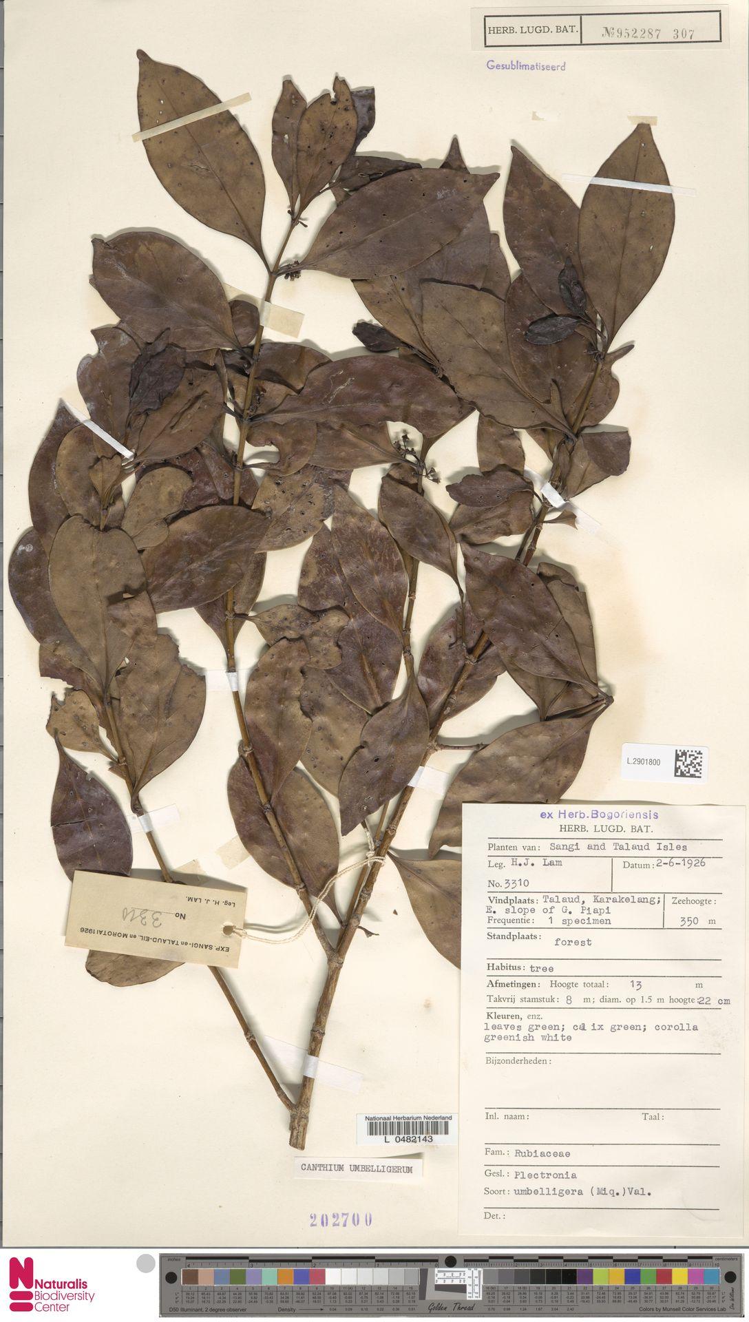 L.2901800 | Canthium umbelligerum Miq.