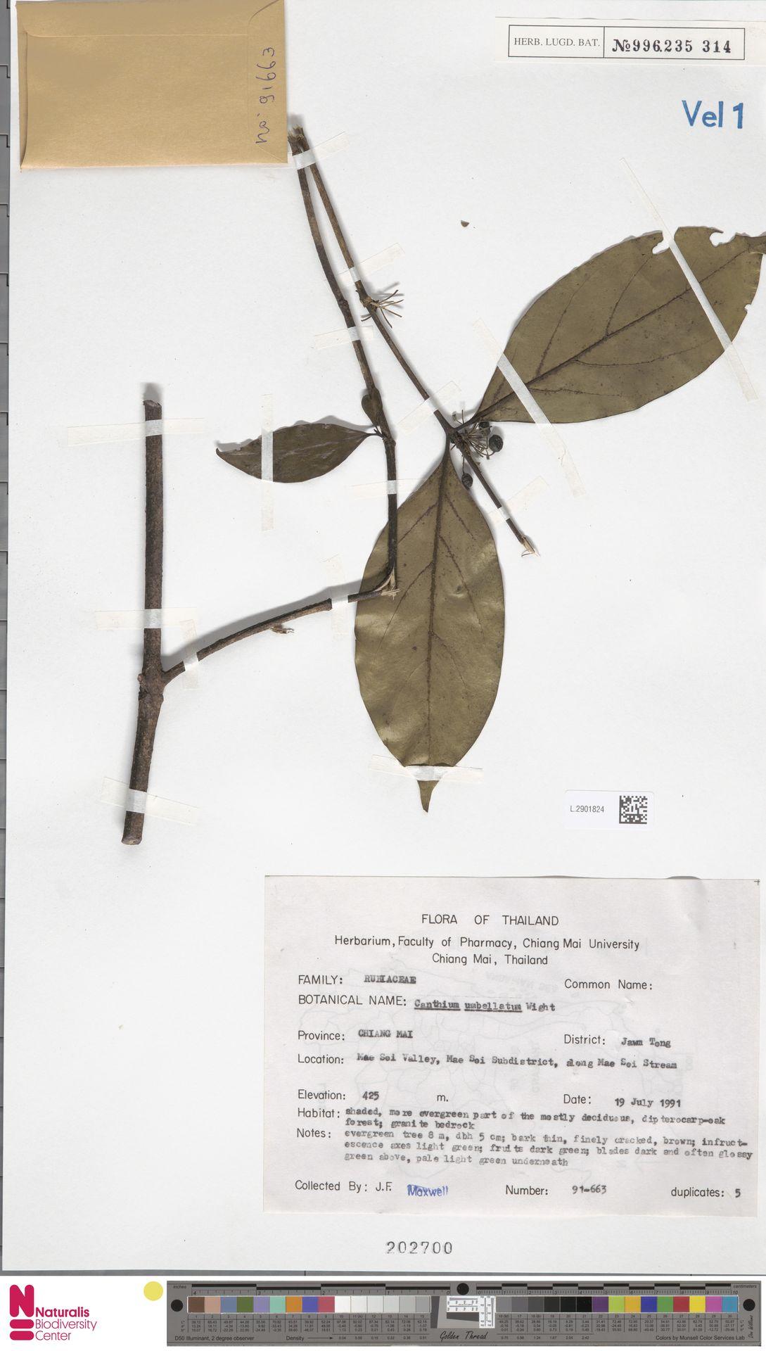 L.2901824 | Canthium umbellatum Wight