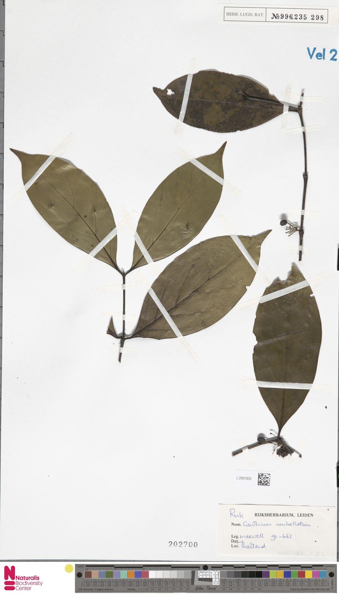 L.2901825 | Canthium umbellatum Wight