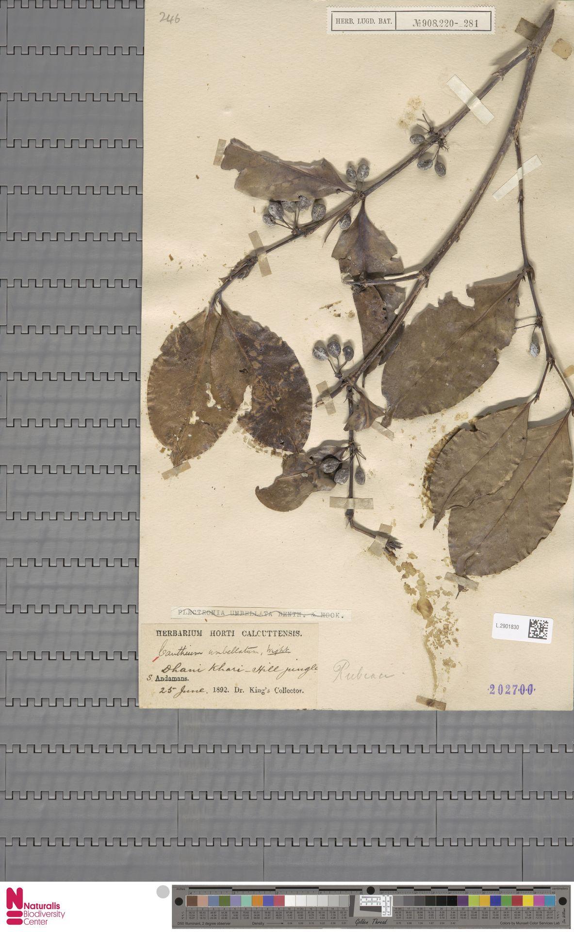 L.2901830 | Canthium umbellatum Wight