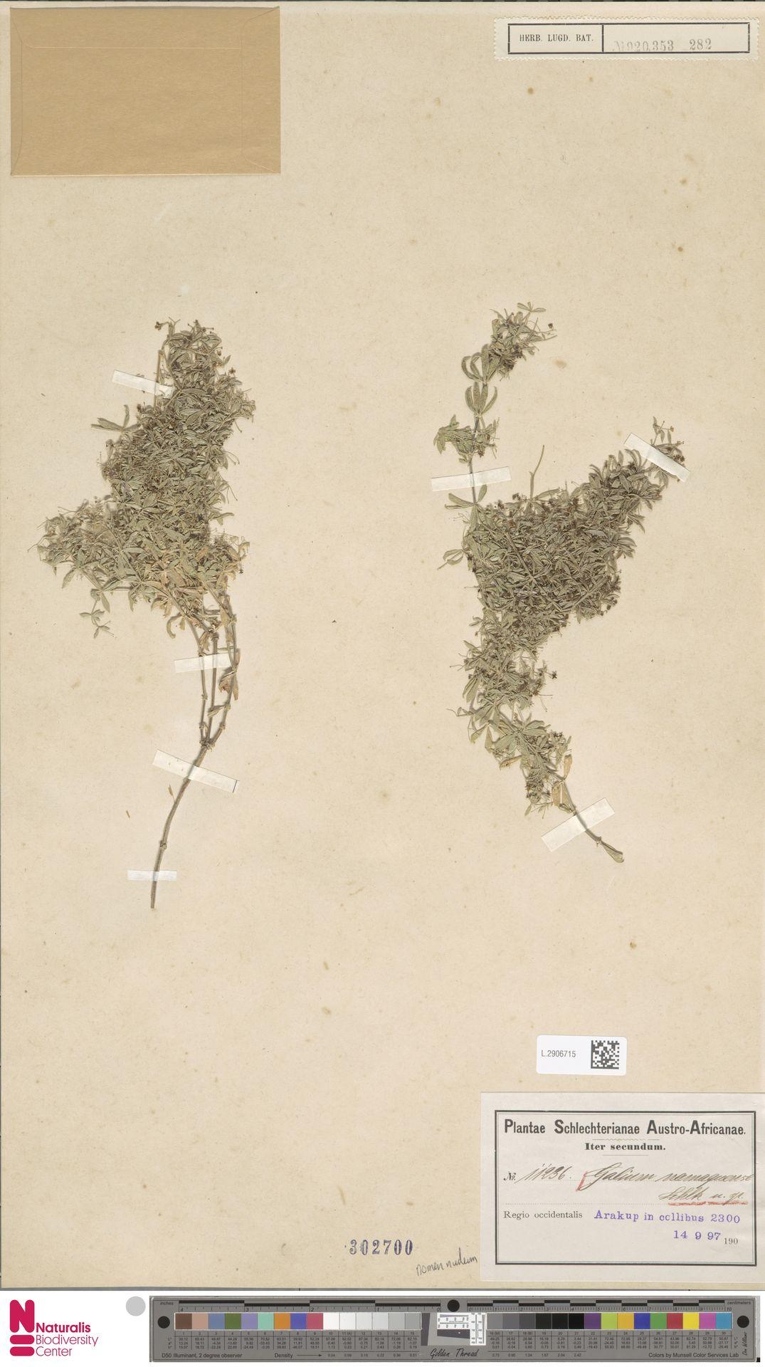 L.2906715 | Galium namaquense Eckl. & Zeyh.