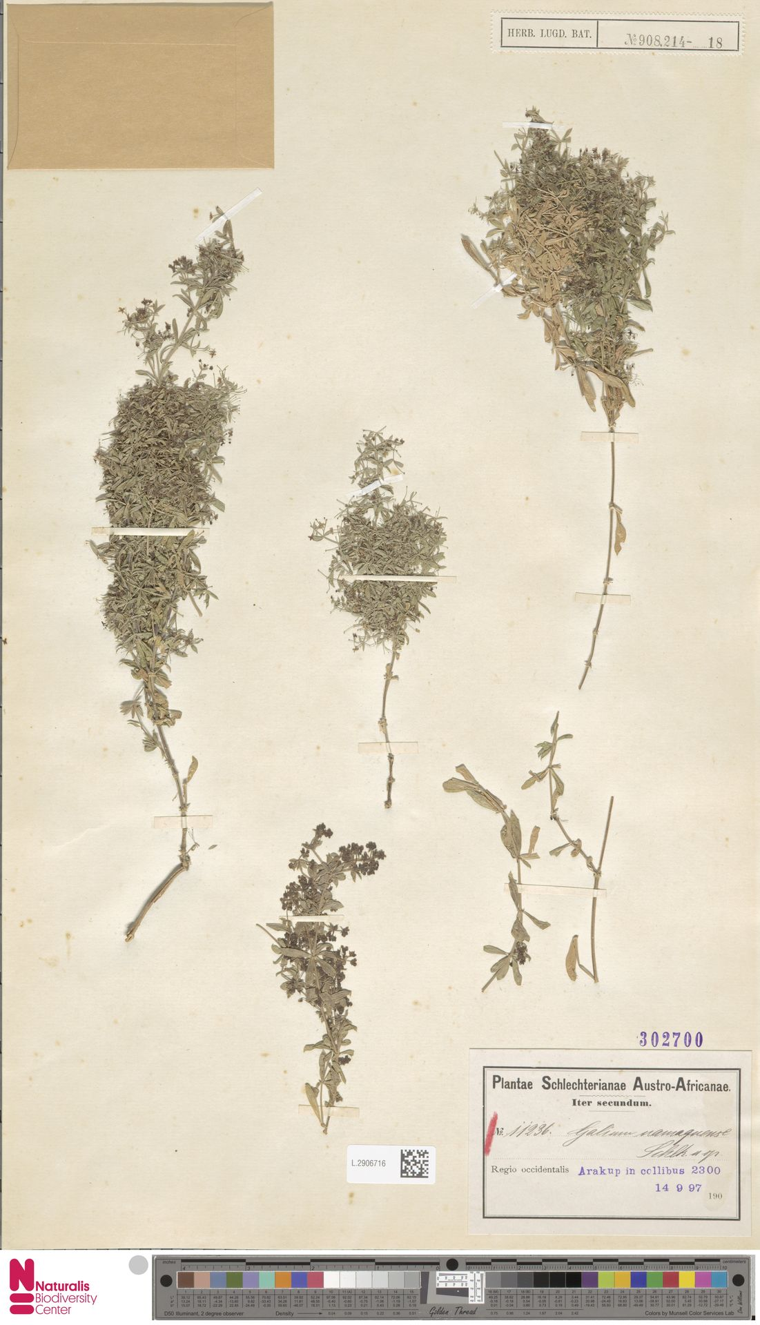 L.2906716 | Galium namaquense Eckl. & Zeyh.