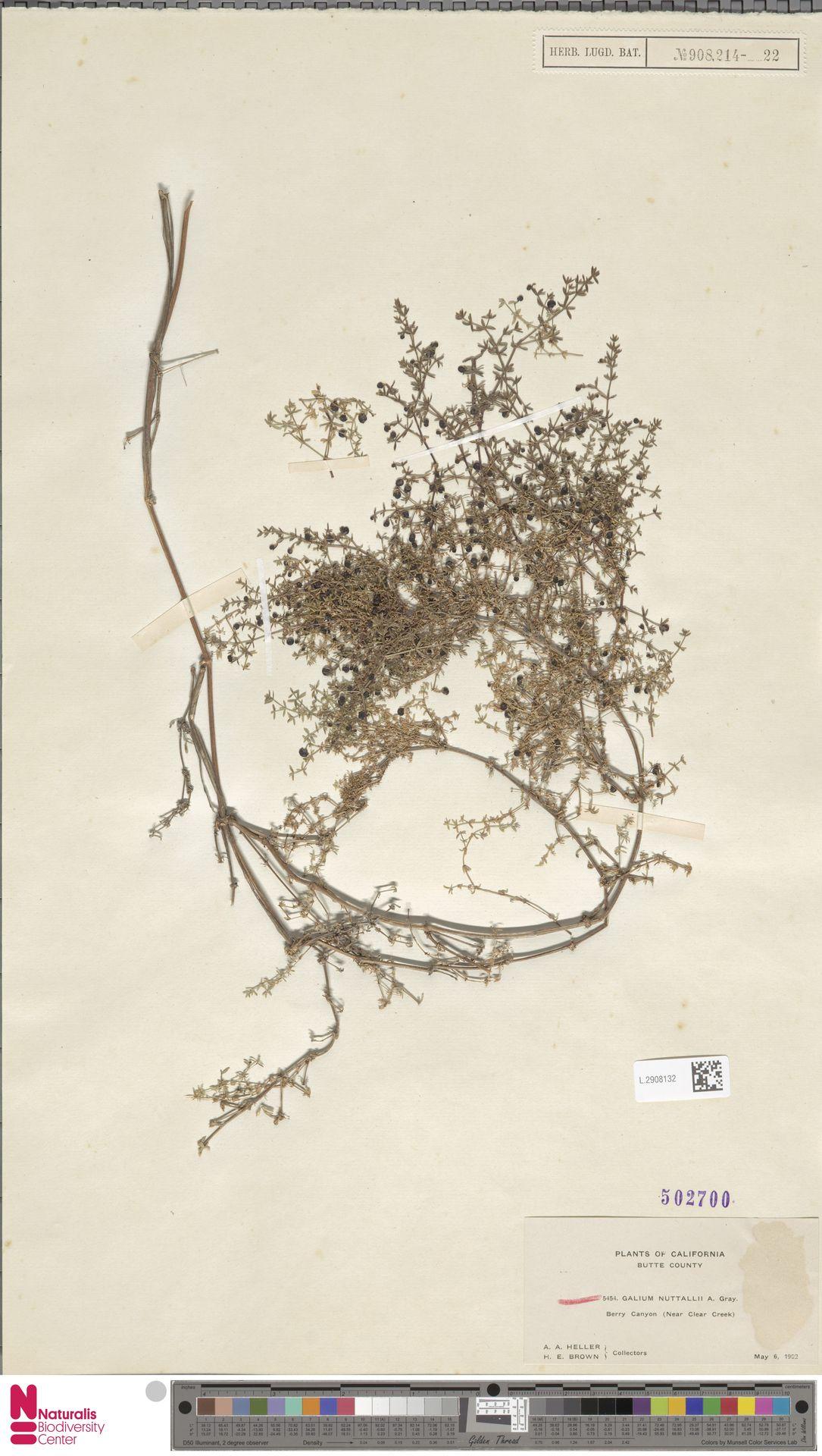 L.2908132 | Galium nuttallii A.Gray