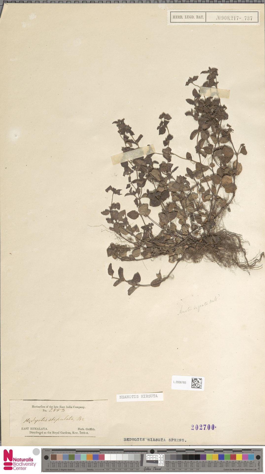L.2936765 | Neanotis hirsuta (L.f.) W.H.Lewis