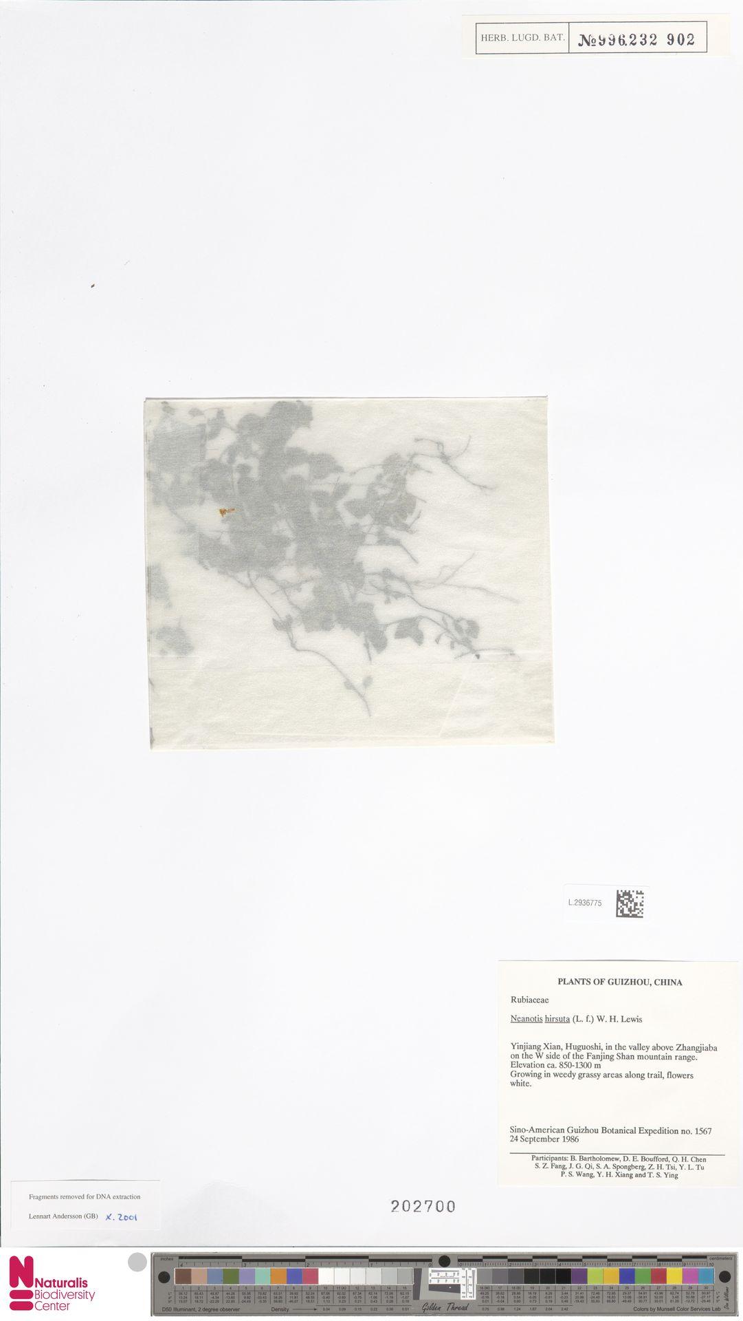 L.2936775 | Neanotis hirsuta (L.f.) W.H.Lewis