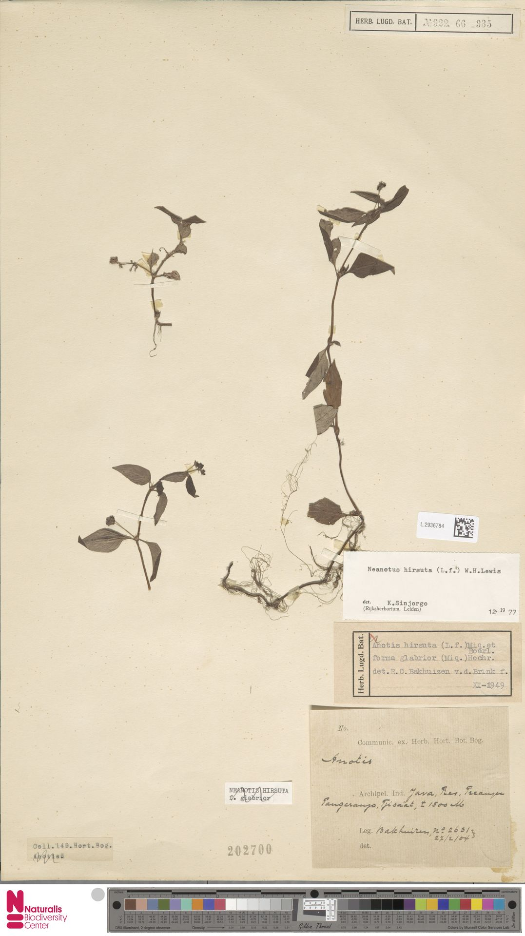 L.2936784 | Neanotis hirsuta (L.f.) W.H.Lewis