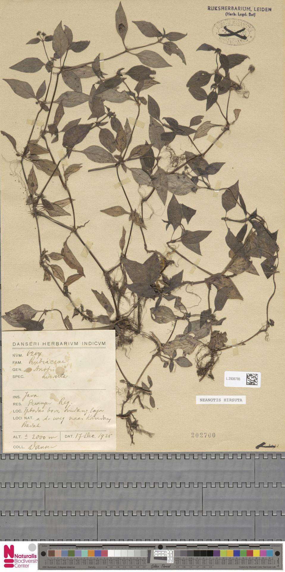 L.2936795 | Neanotis hirsuta (L.f.) W.H.Lewis