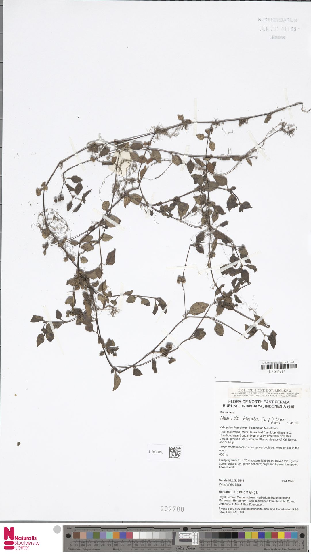 L.2936810 | Neanotis hirsuta (L.f.) W.H.Lewis