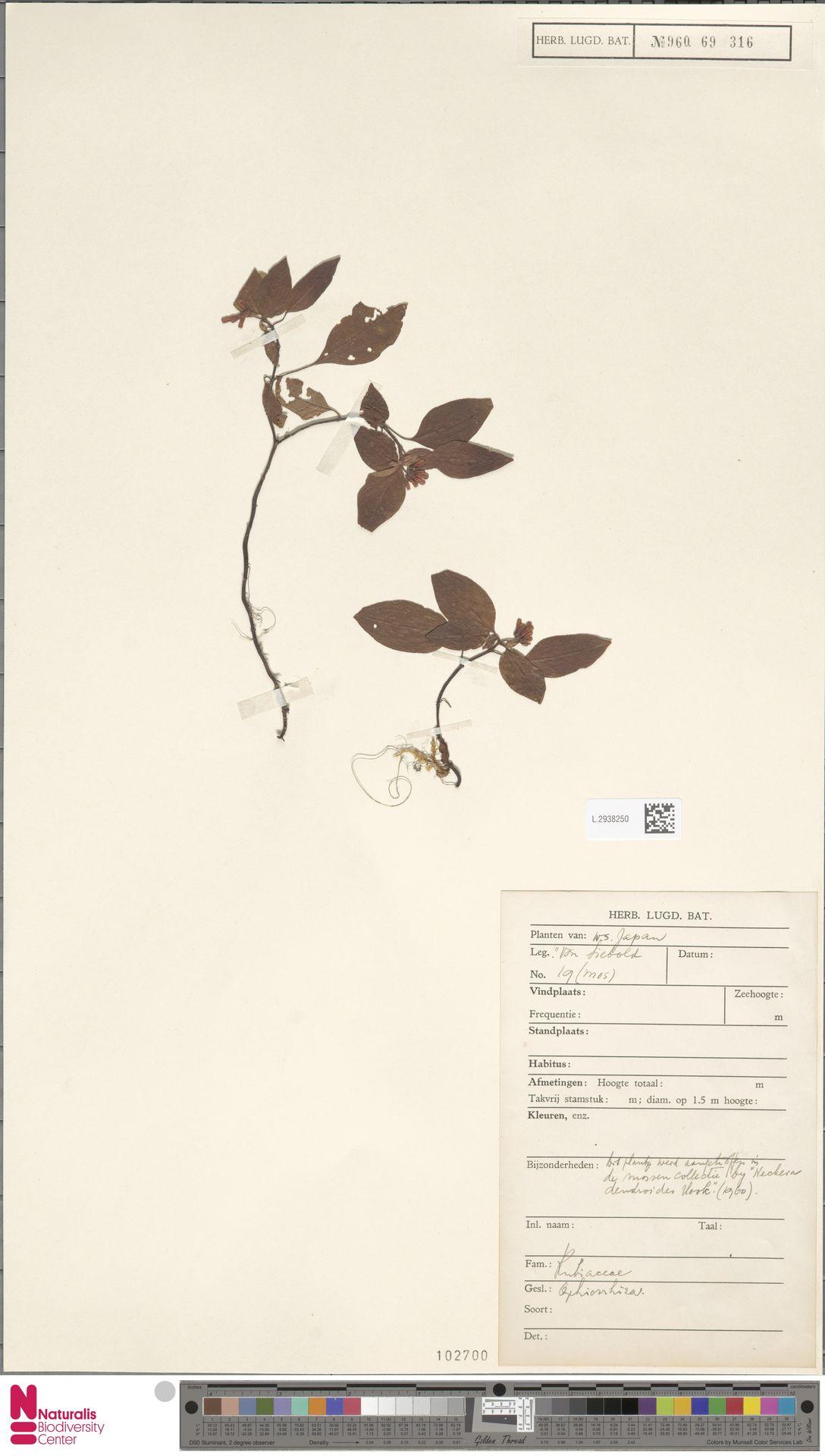 L.2938250   Ophiorrhiza