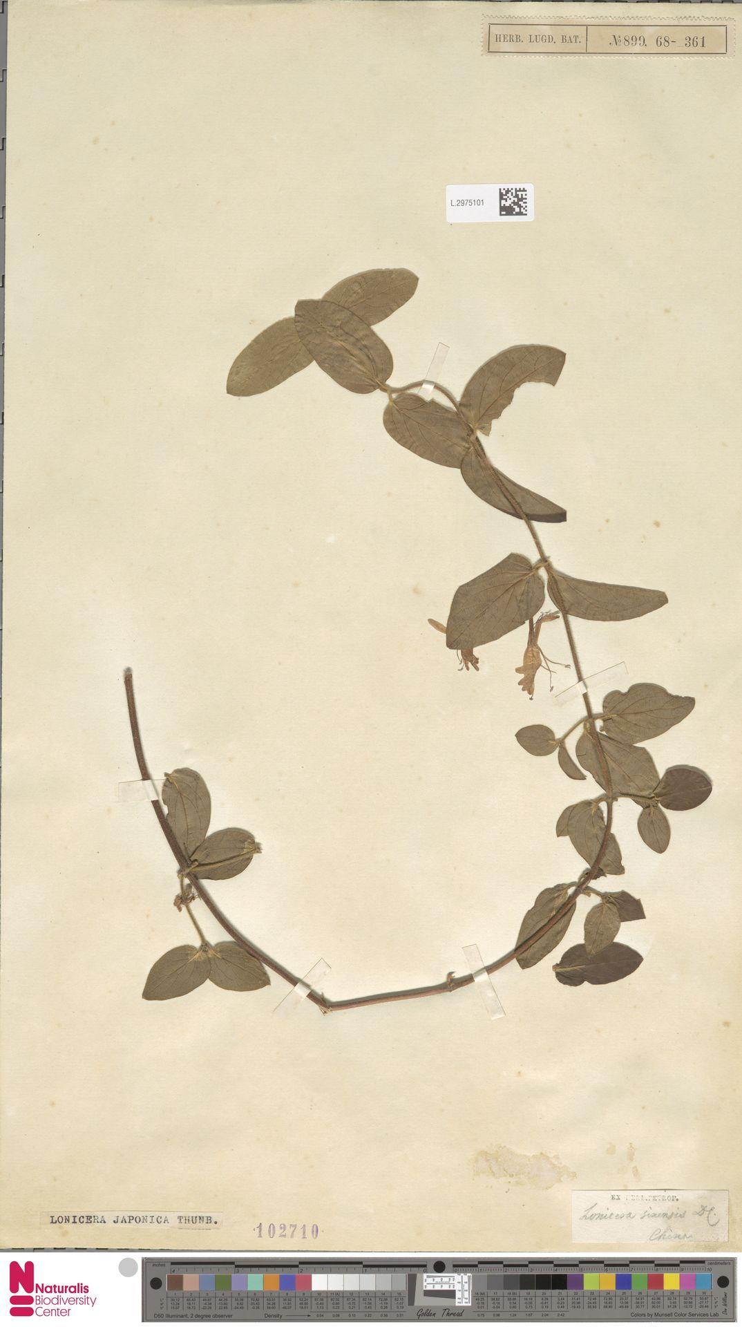 L.2975101 | Lonicera japonica Thunb.