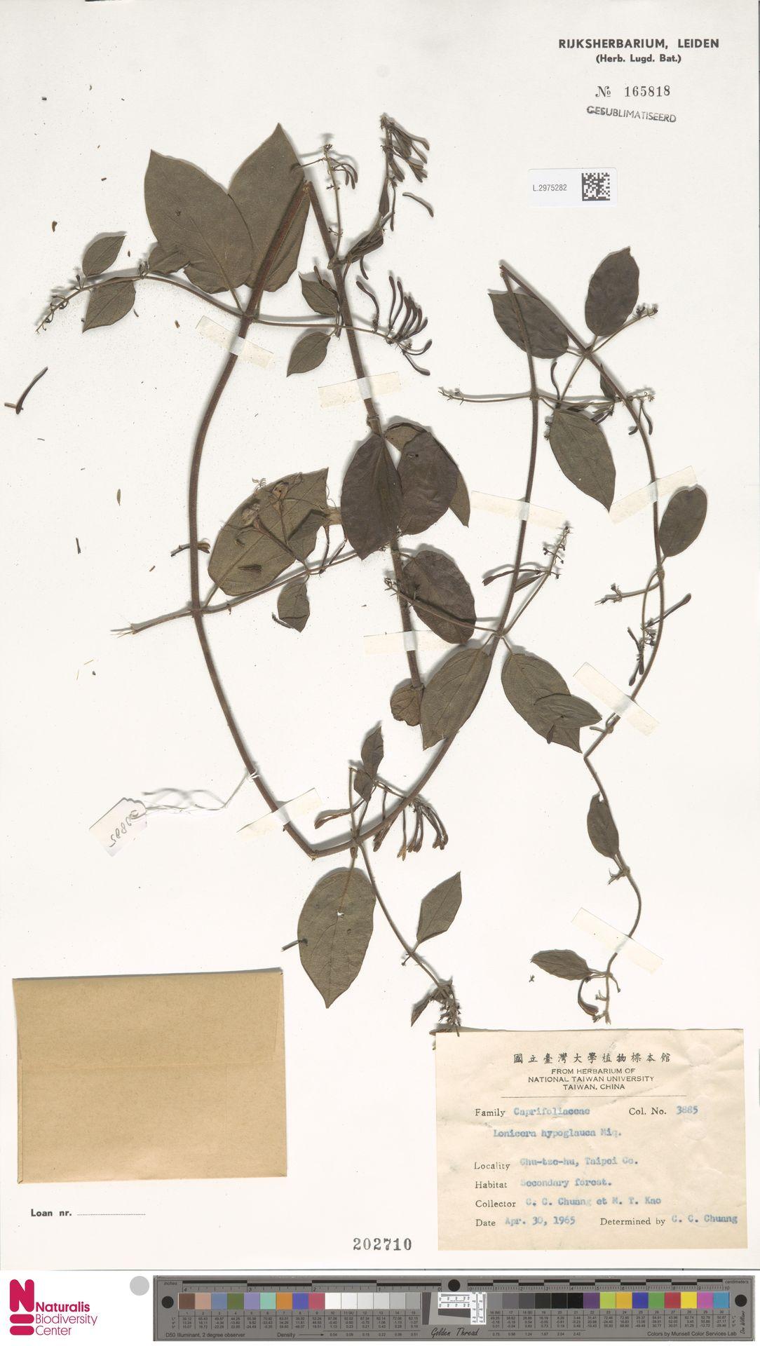 L.2975282 | Lonicera hypoglauca Miq.