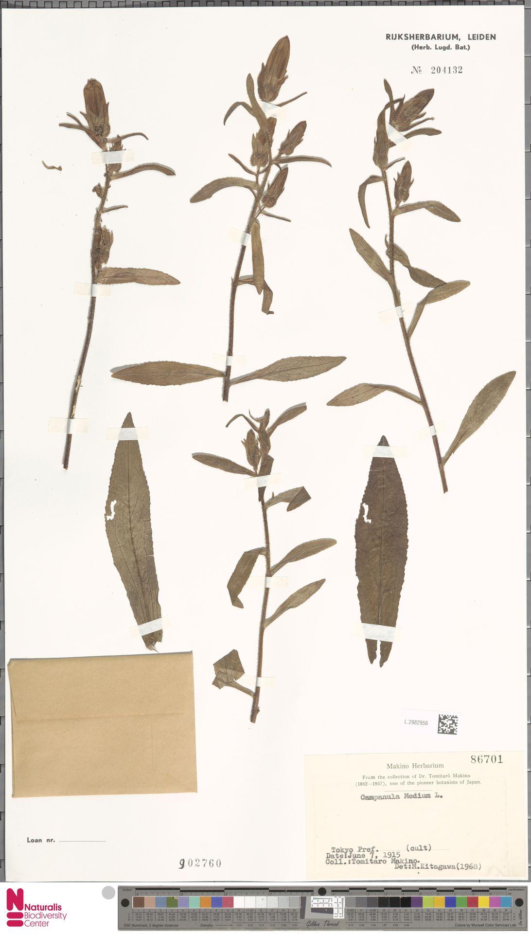 L.2982956 | Campanula medium L.