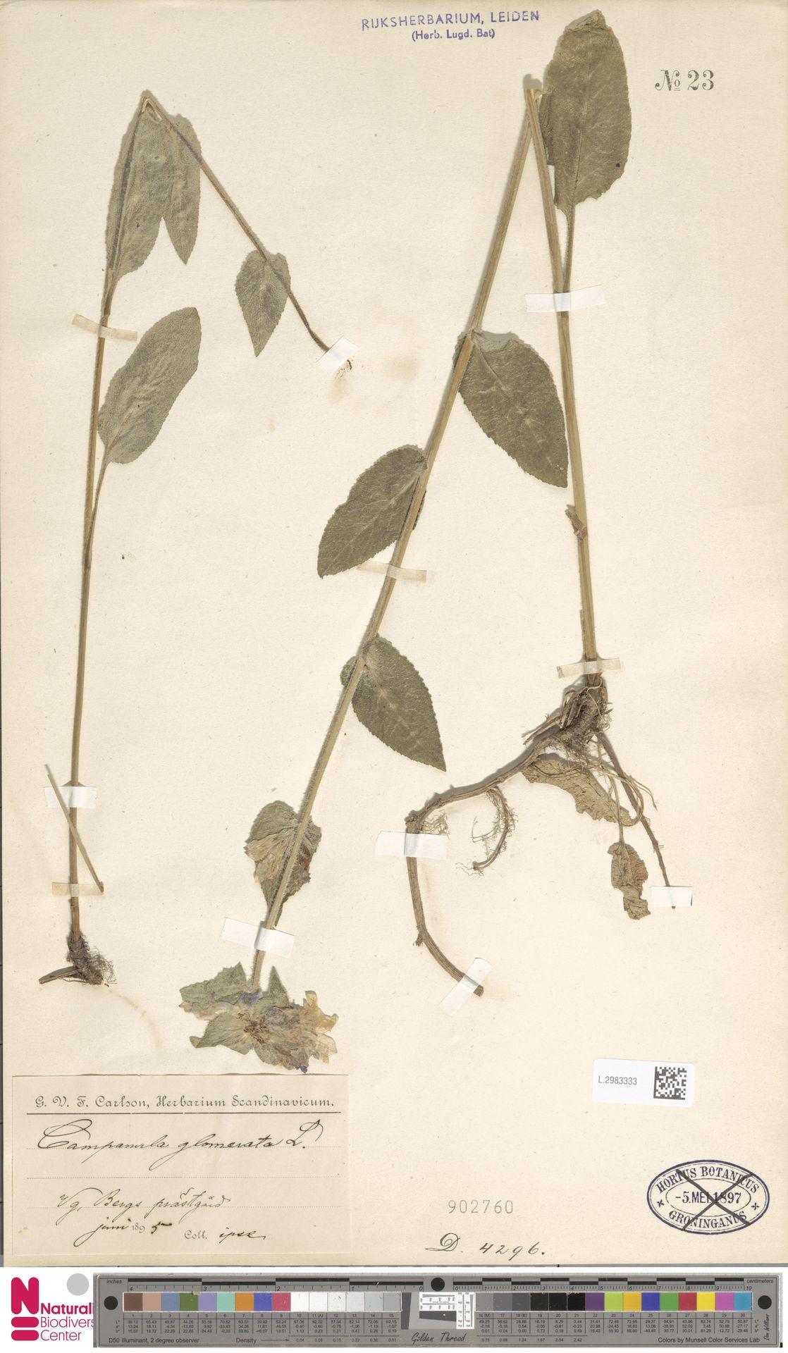 L.2983333   Campanula glomerata L.