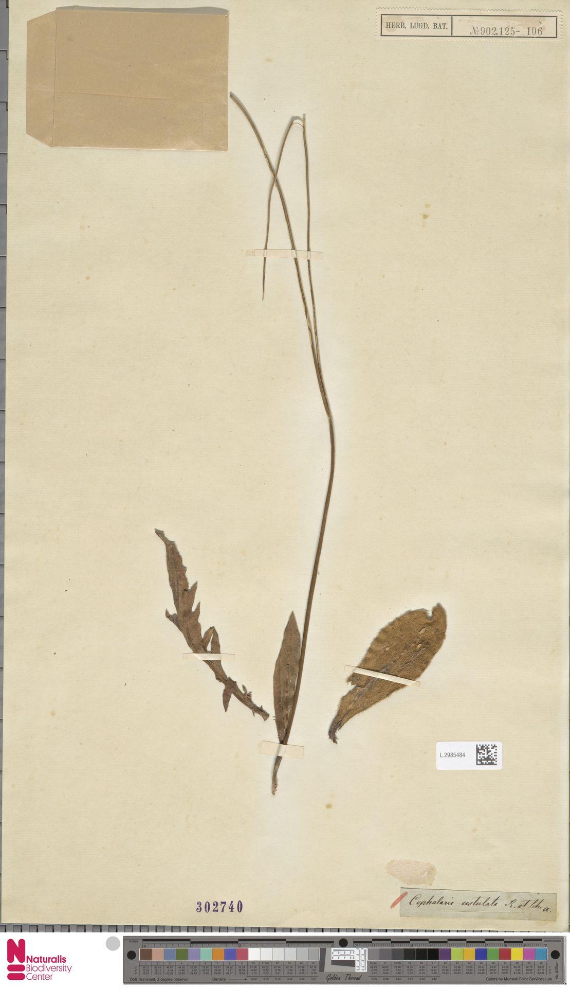 L.2985484 | Cephalaria ustulata (Thunb.) Roem. & Schult.