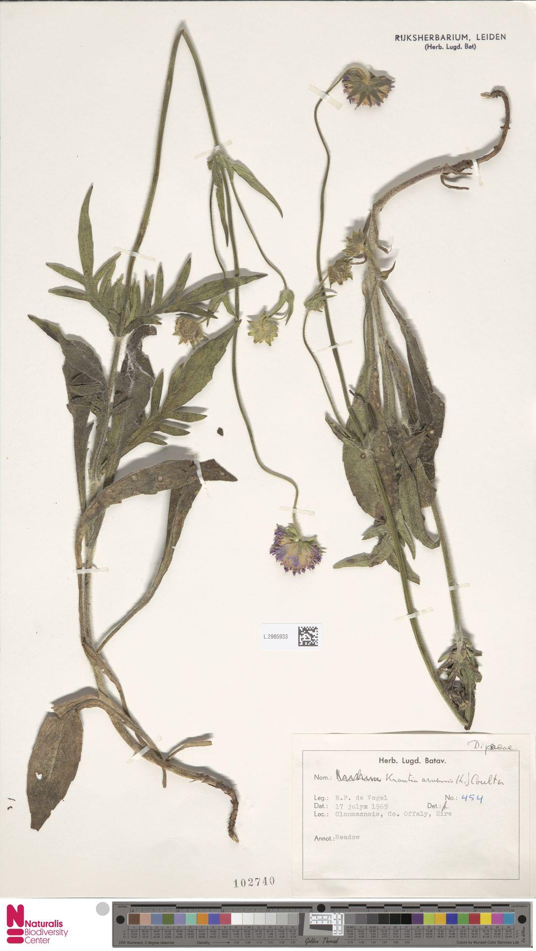 L.2985933 | Knautia arvensis (L.) Coult.