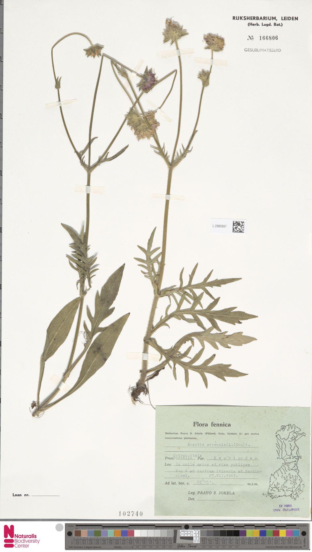 L.2985937 | Knautia arvensis (L.) Coult.