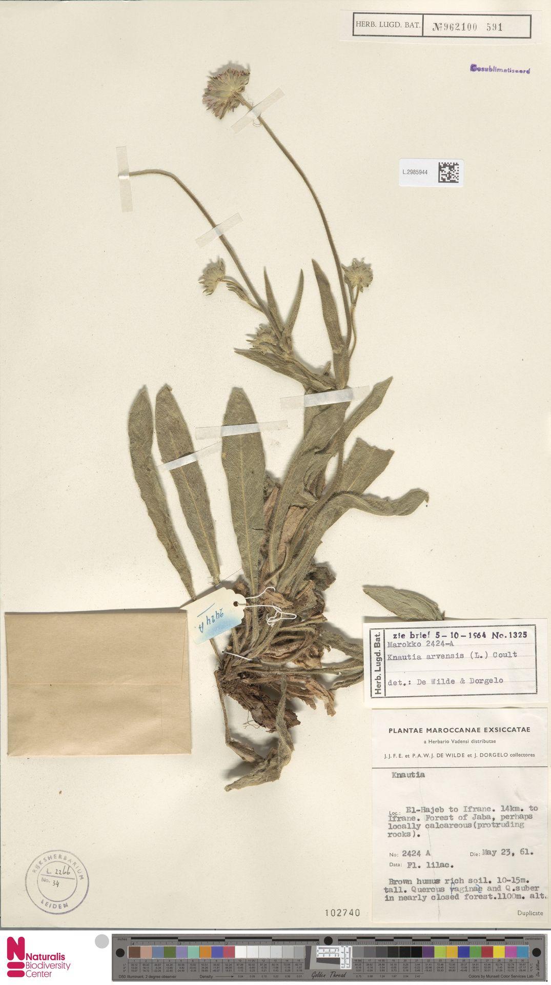 L.2985944 | Knautia arvensis (L.) Coult.